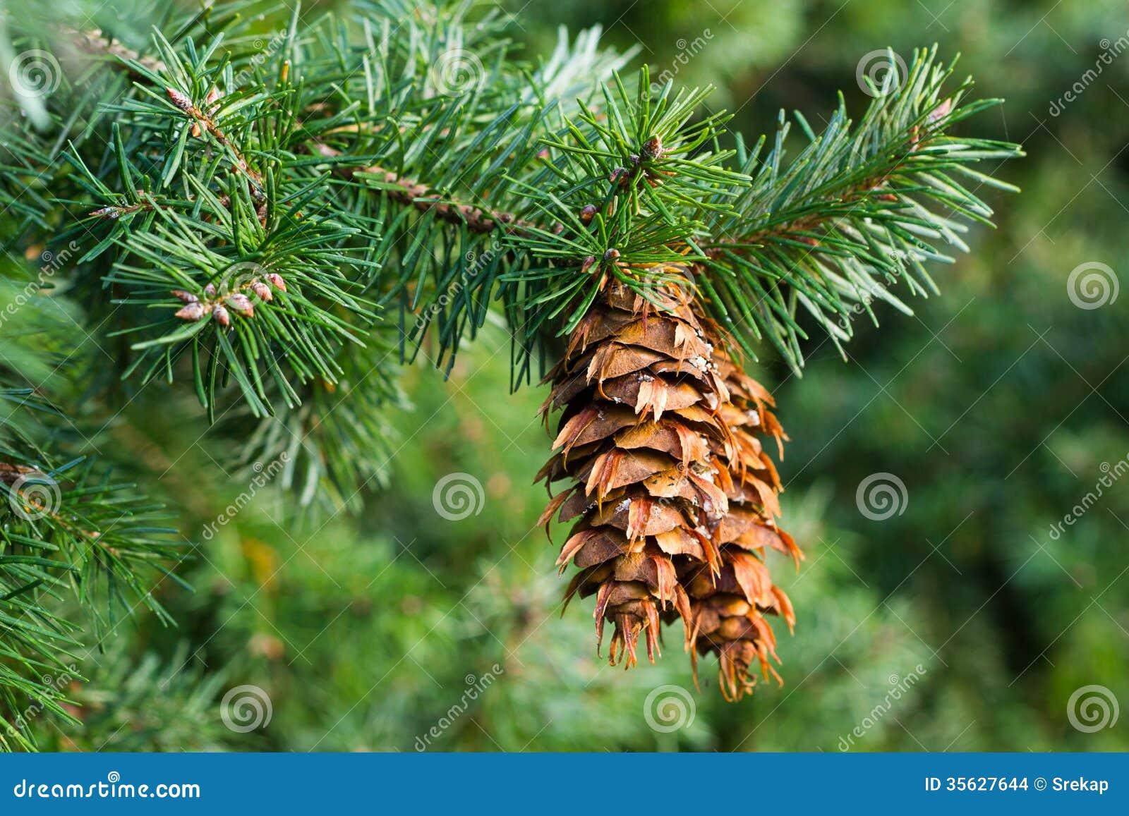 7 5 Douglas Fir Christmas Tree