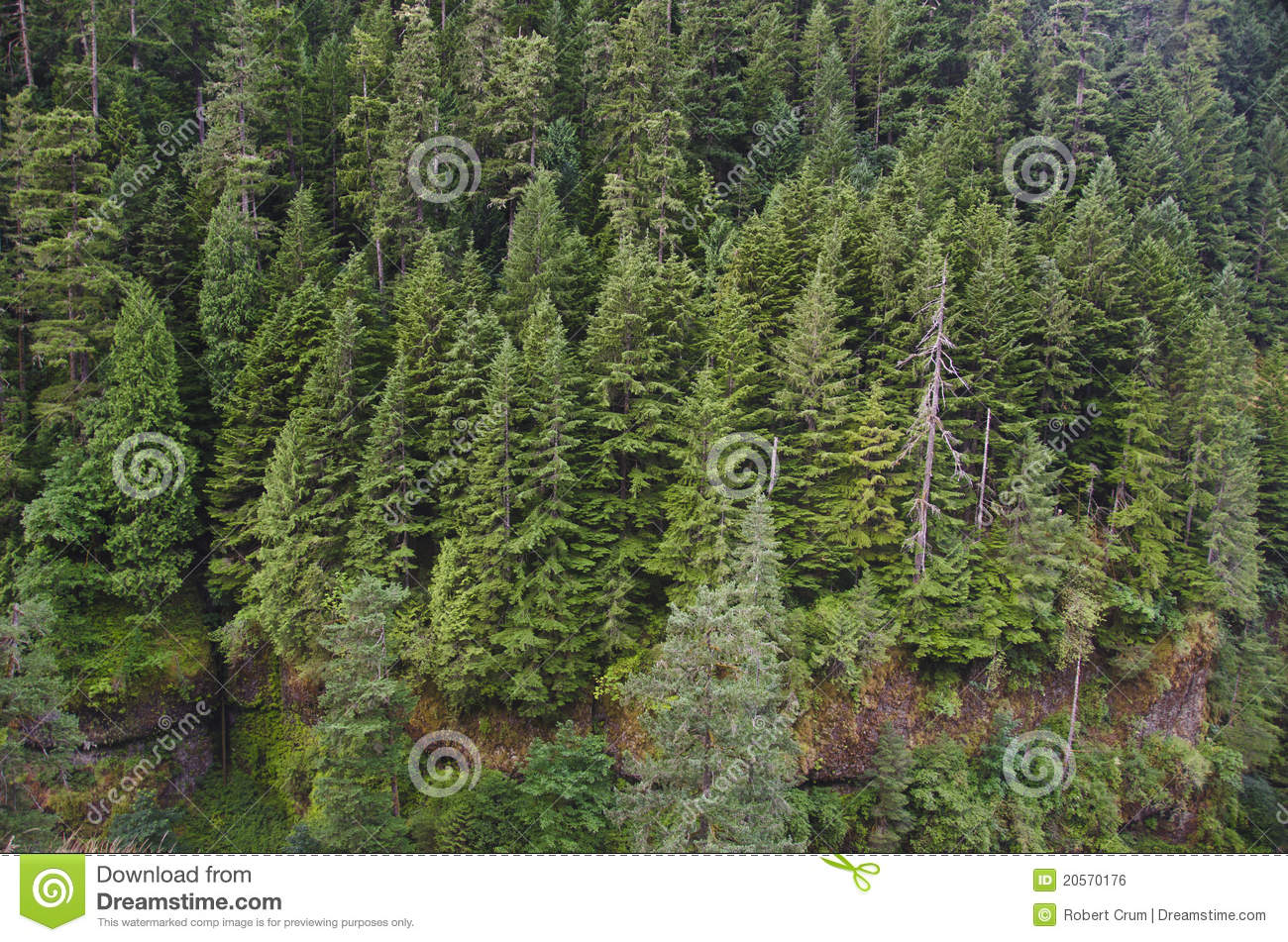 Douglas fir forest stock photo. Image of northwest, columbia - 20570176