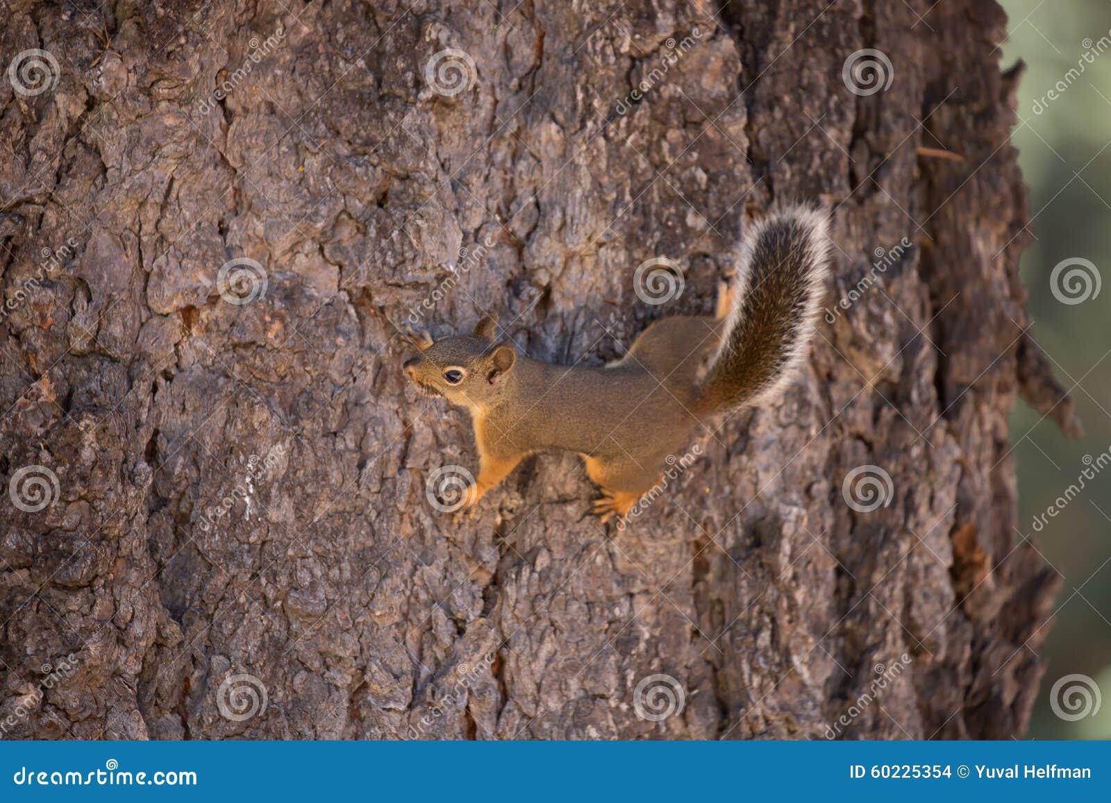 Douglas Squirrel (oder chickaree)