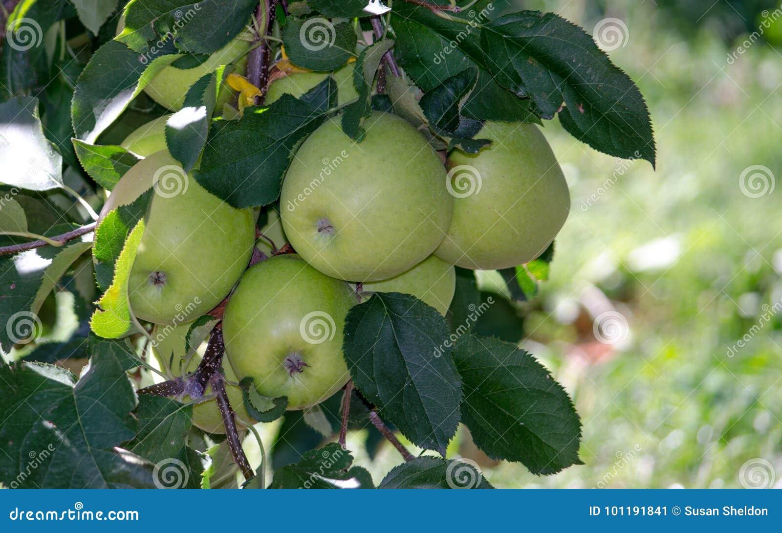 Dourado - maçãs deliciosas de Michigan