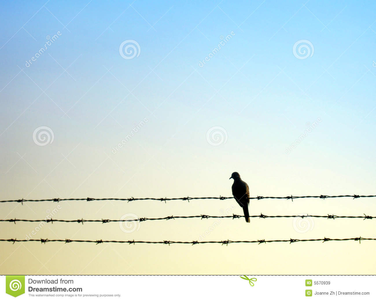 Dove bird on barb wire