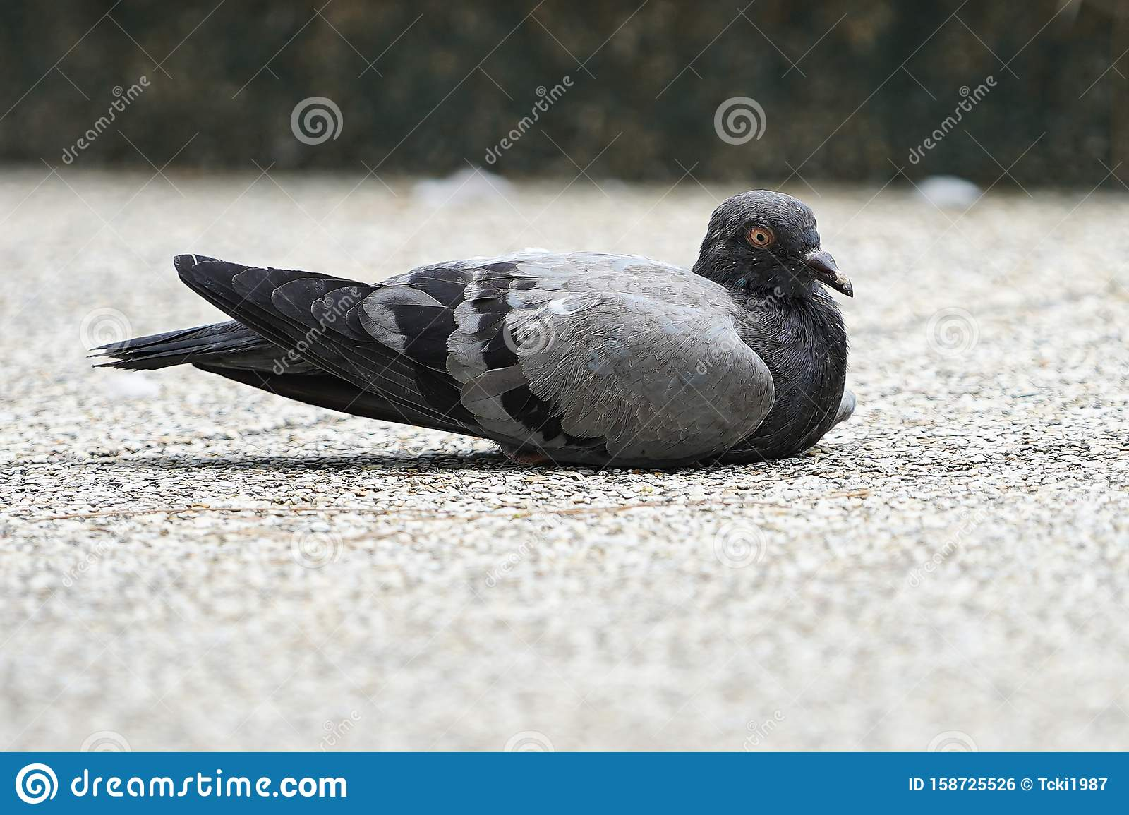 Dove Bird Close Up Zoom Sharp High Quality Stock Photo