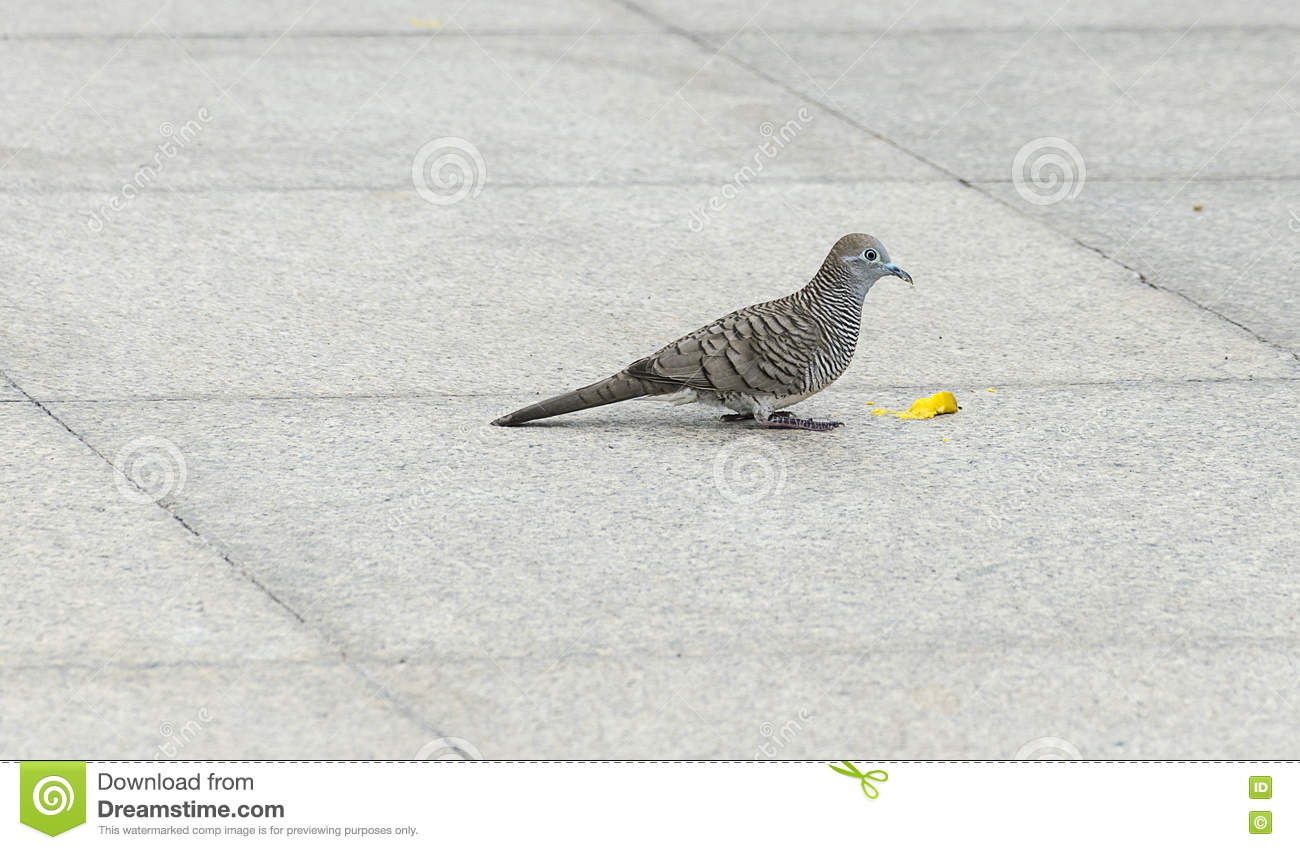 Dove Bird Eating Food On Tile Floor/ground  Stock Photo