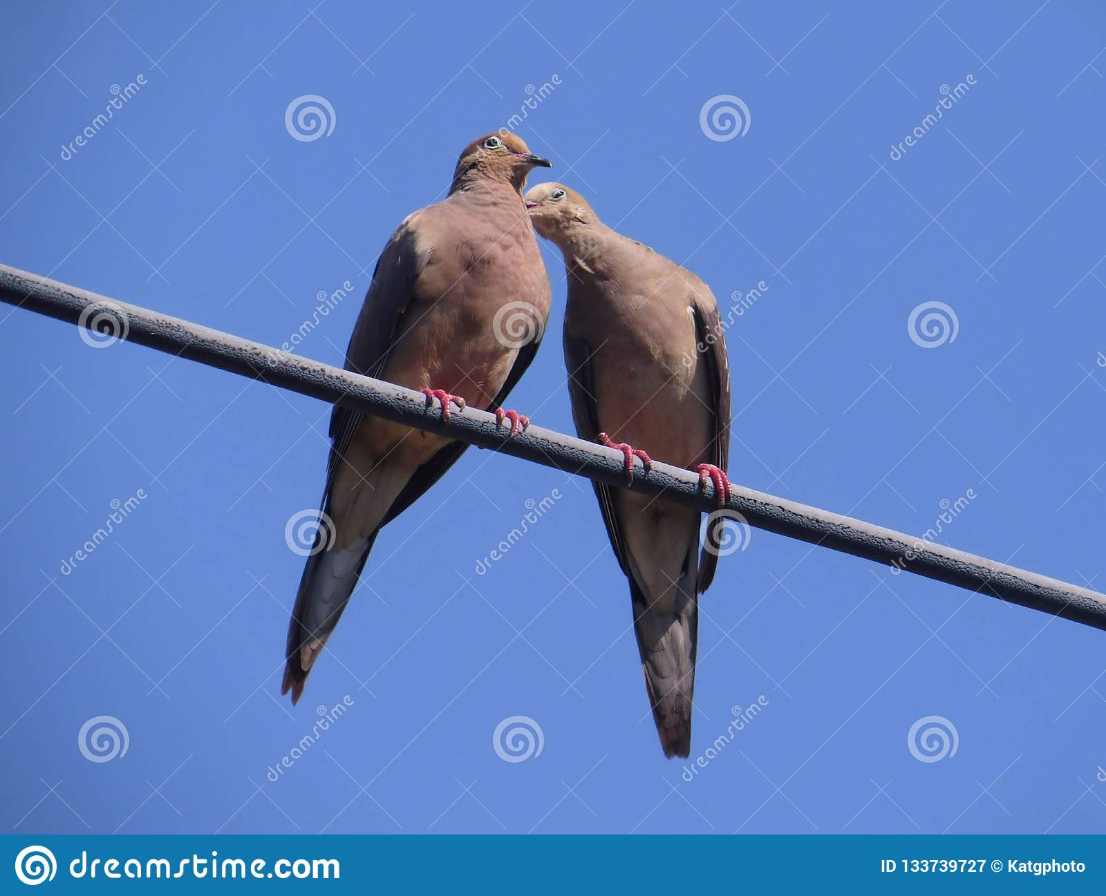 Two Mourning Doves Kissing On A Power Line