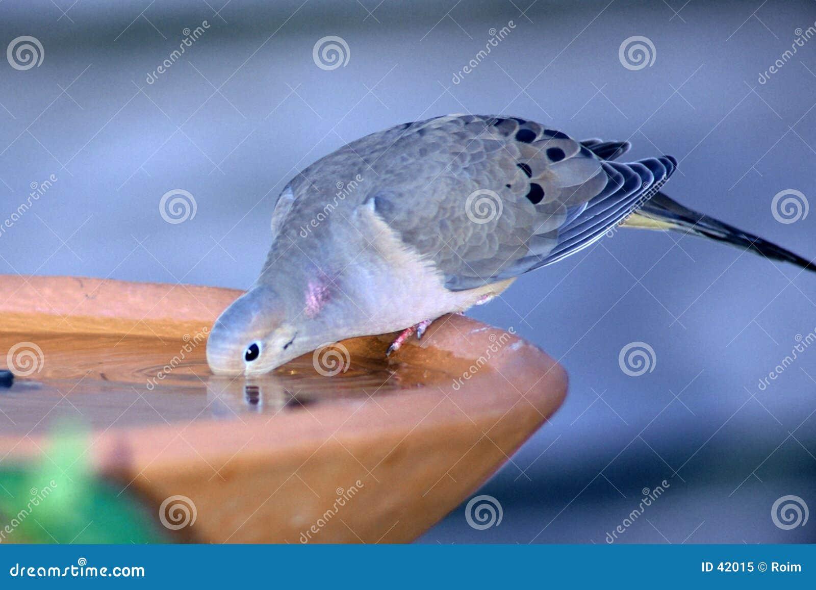Dove Drinking