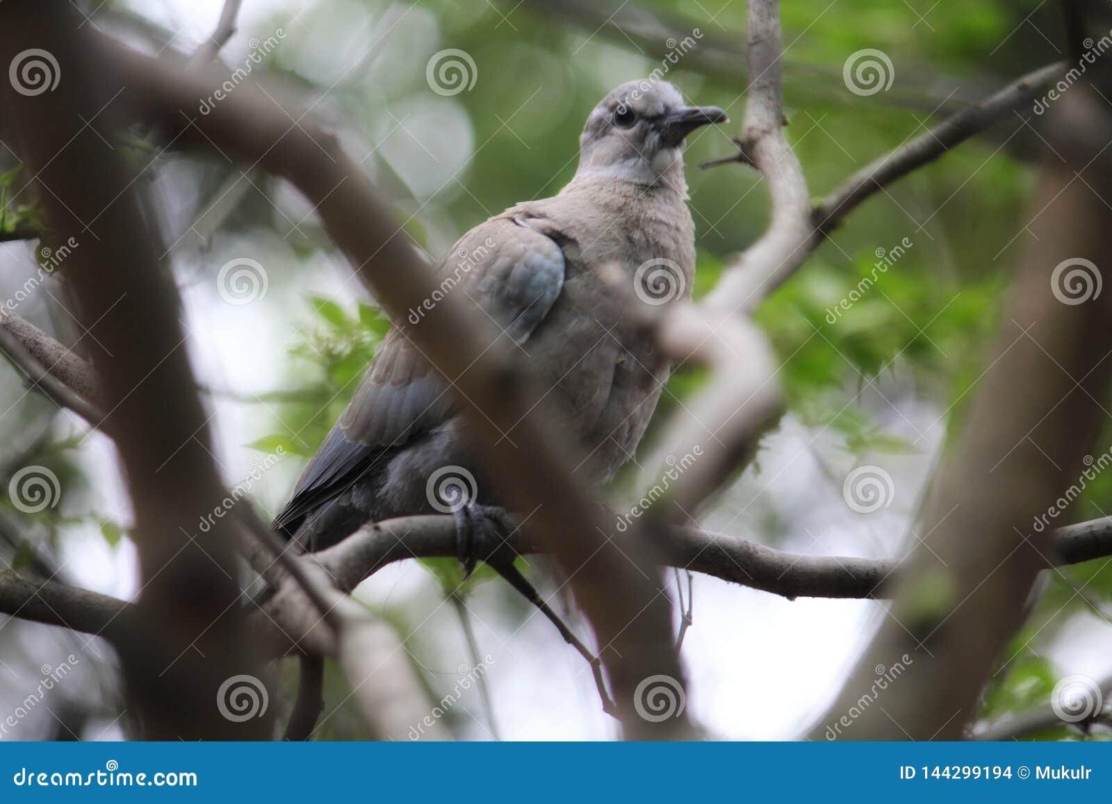 Dove & x28;Eurasian collared dove& x29;