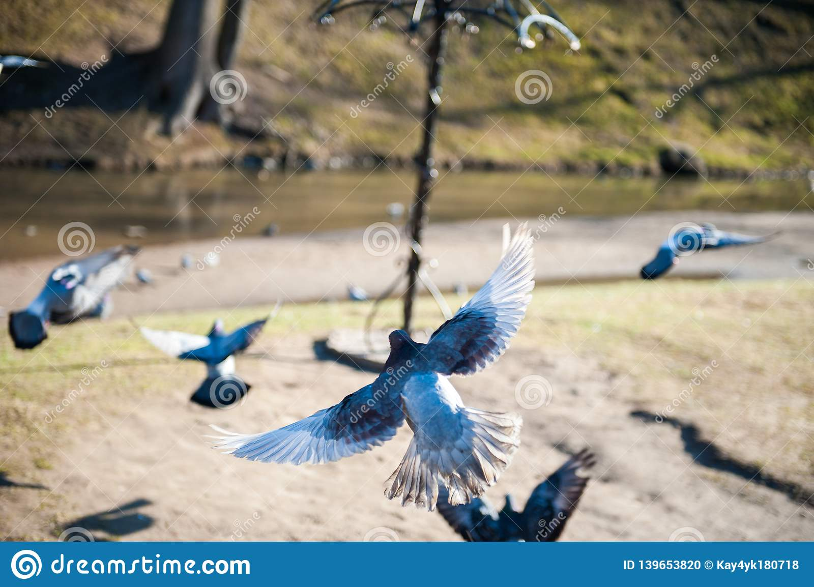 Dove in flight. flying pigeons on a sunny day