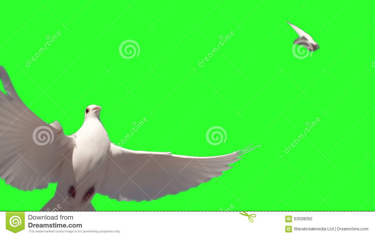 Dove Flying On Green Screen Background Stock Footage - Video