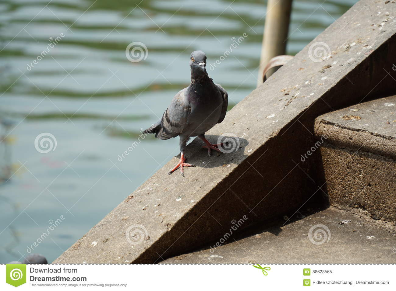 Dove or pigeon on the floor stock image cartoondealer for On the floor