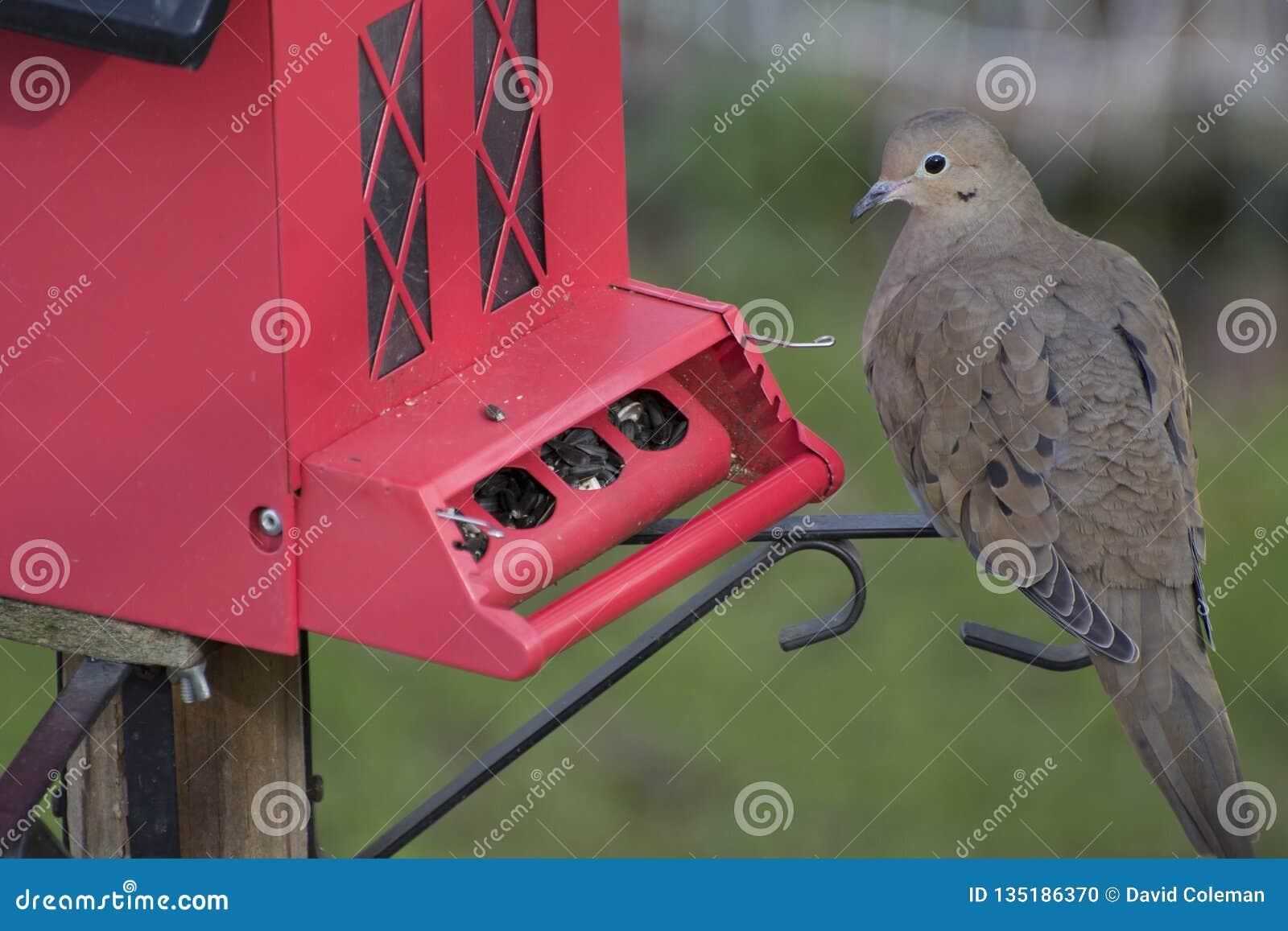 Dove at red bird feeder
