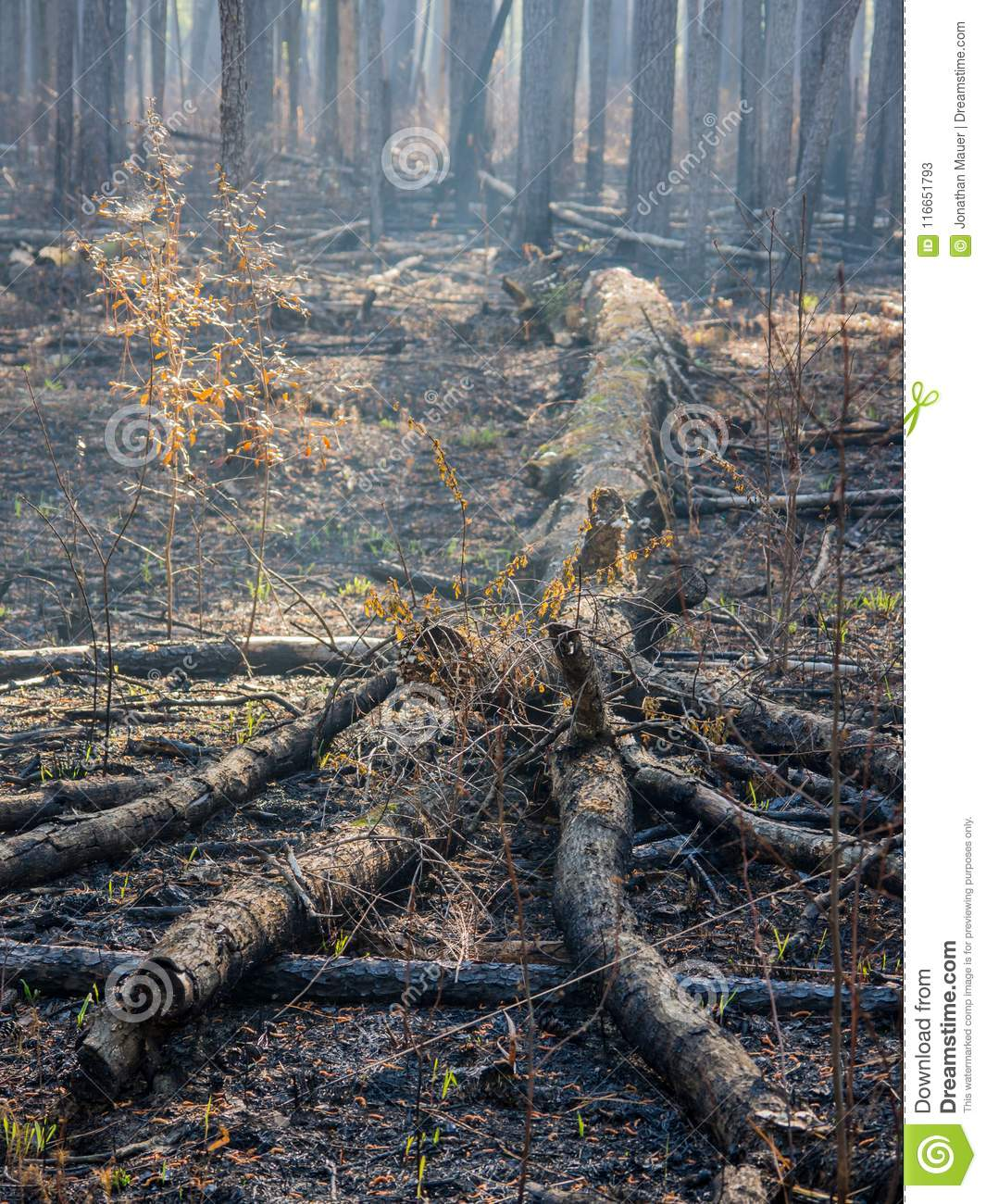Downed Tree in a Charred Forest after Controlled Burn
