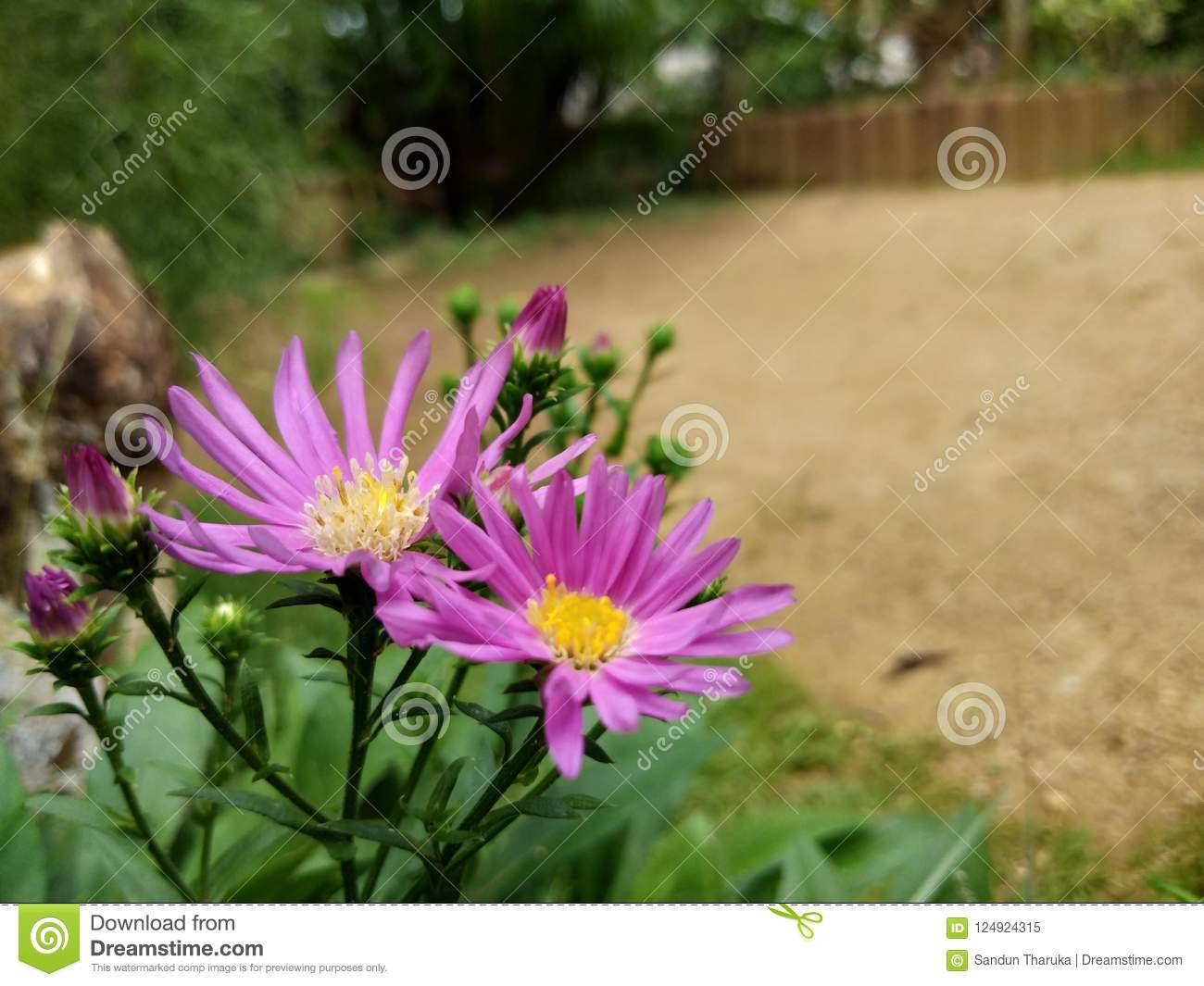 Download beautiful flowers in sri lanka stock image image of bodhi photo about nice natural photos of sri lanka e most beautiful sightce red color flower image of natural white pink rose gold yellow colors izmirmasajfo