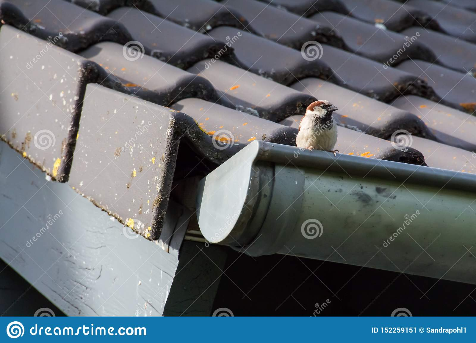 Little sparrow on the roof of a house