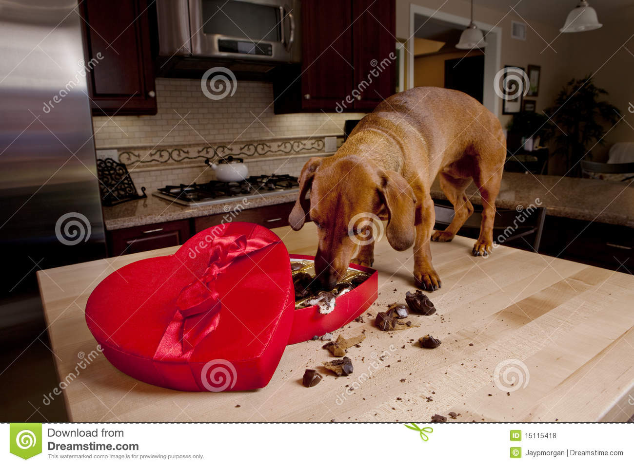 Doxie Dog Eating Chocolates From Heart Shaped Box Stock Photo ...