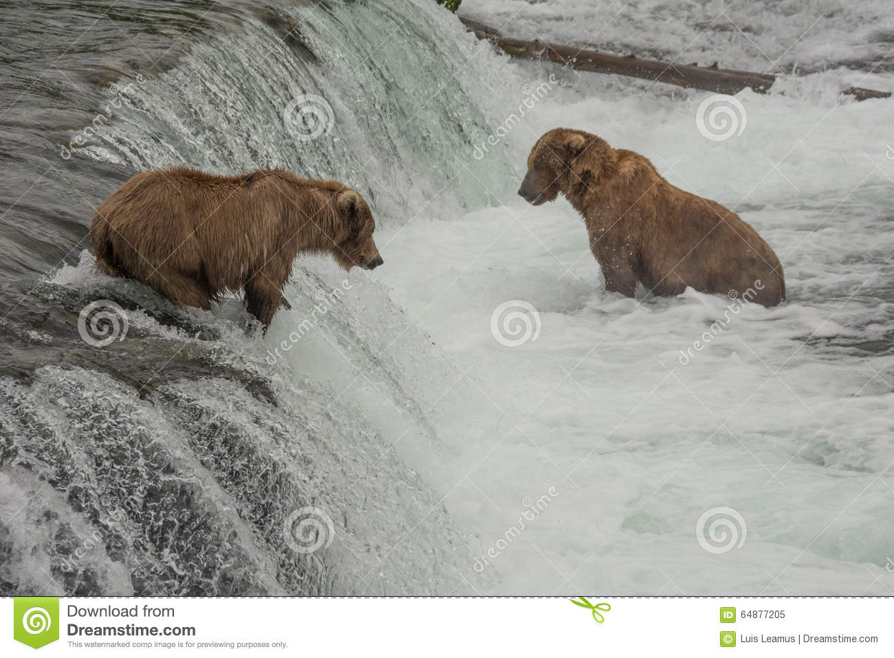 Dozens of grizzly bears gather at Brook Falls during the annual salmon run, Alaska