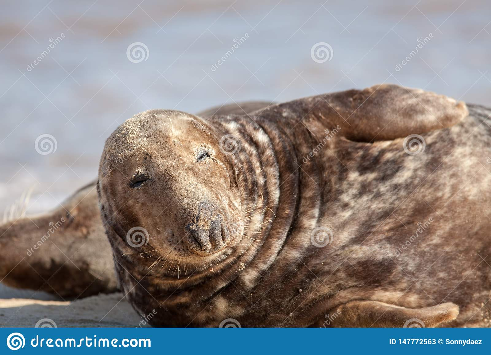 Dozy animal. Sleepy lethargic seal feeling drowsy. Eyes half closed