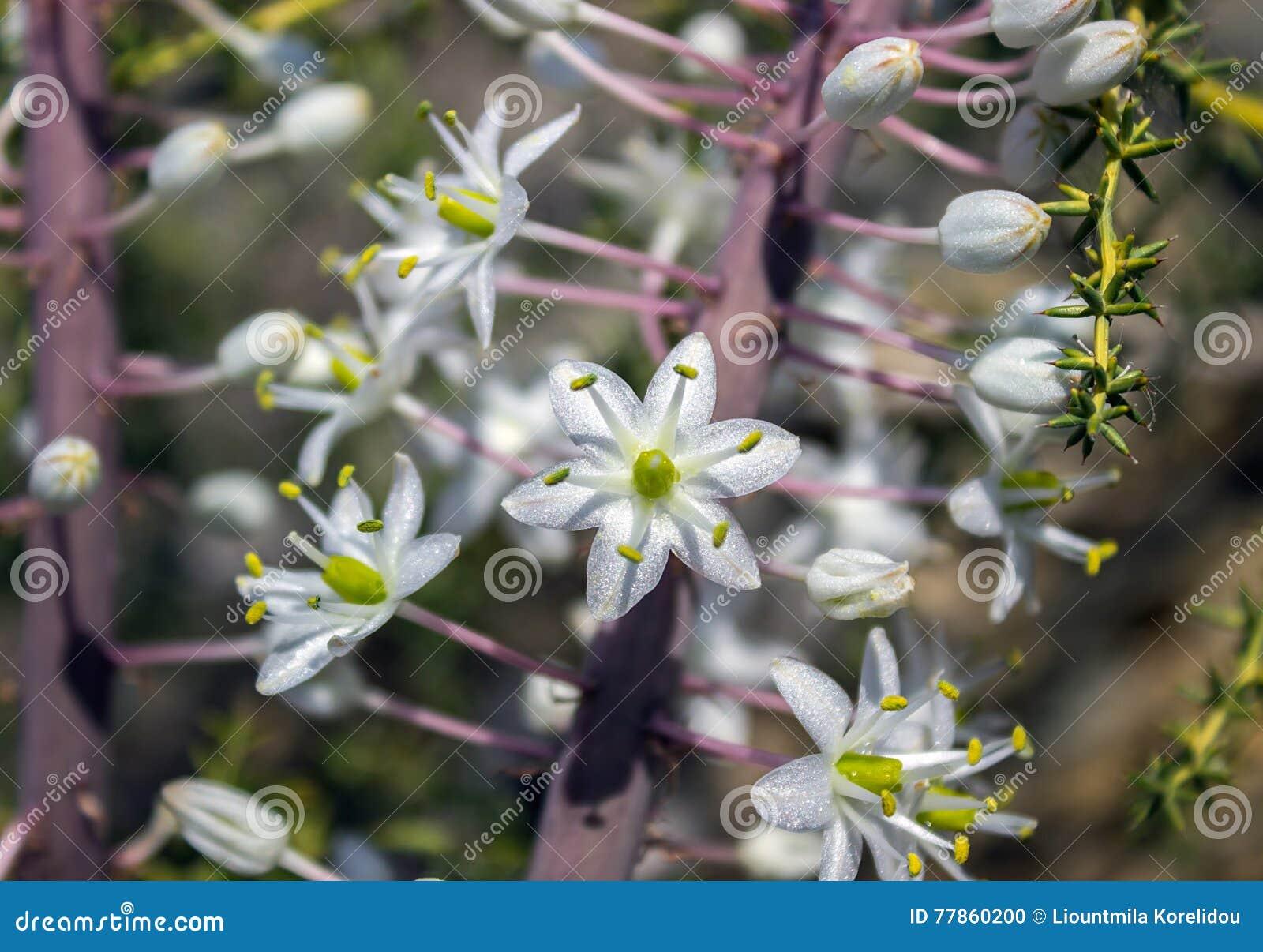 Drmia Martima Unusual Flowers Close Up Stock Photo Image Of