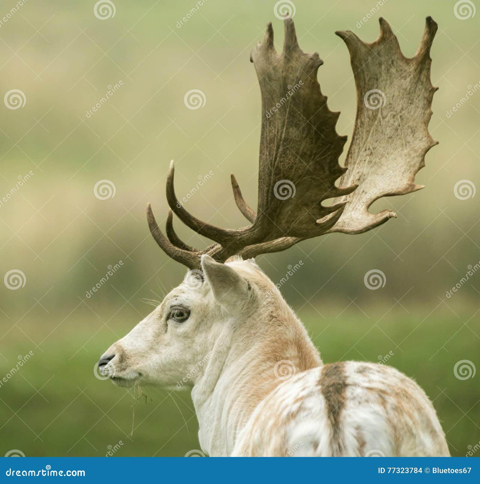 Dra tillbaka av en i träda deer& x27; s-huvud