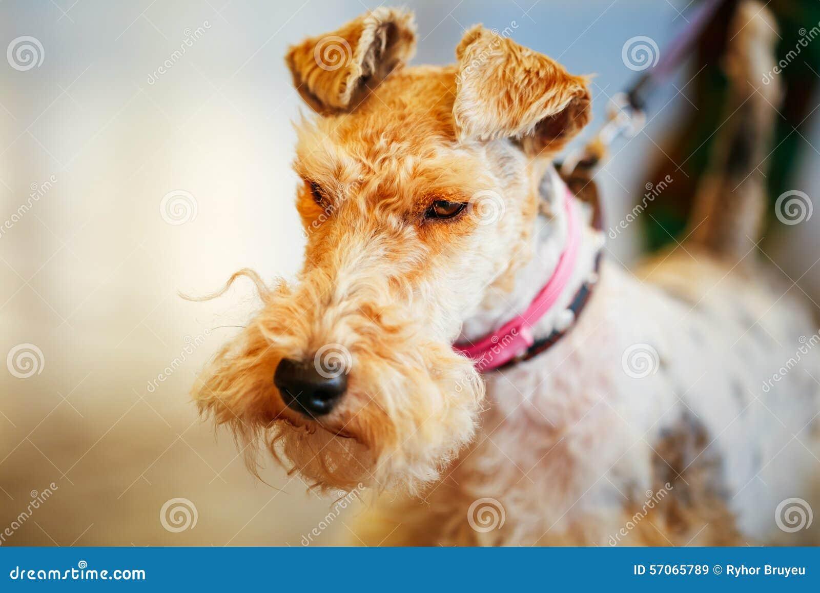 Draadfox-terrier