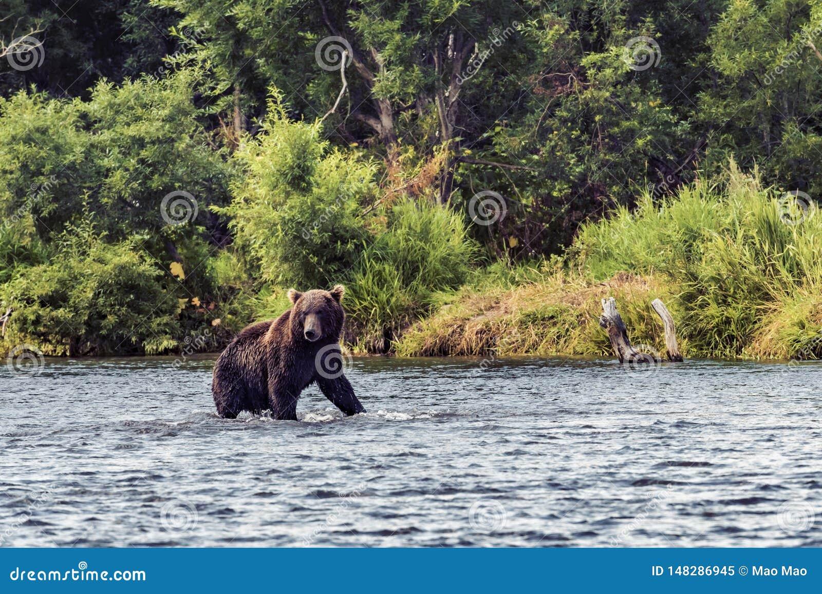 Draag in Kamchatka Een bruine beer in het water in Kamchatka, Rusland