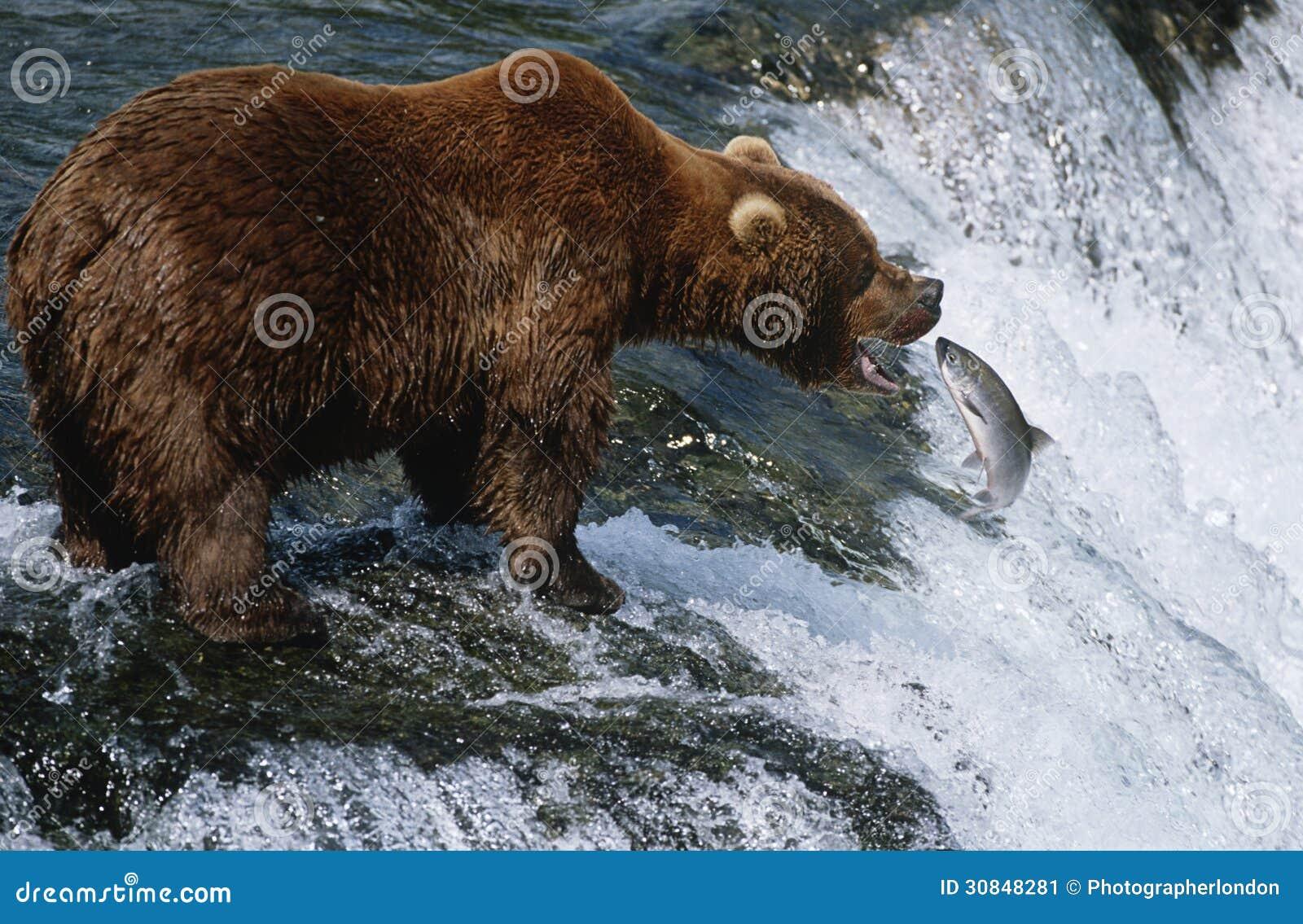 Draagt het Nationale Bruine Park van de V.S. Alaska Katmai vangende Zalm in rivier zijaanzicht