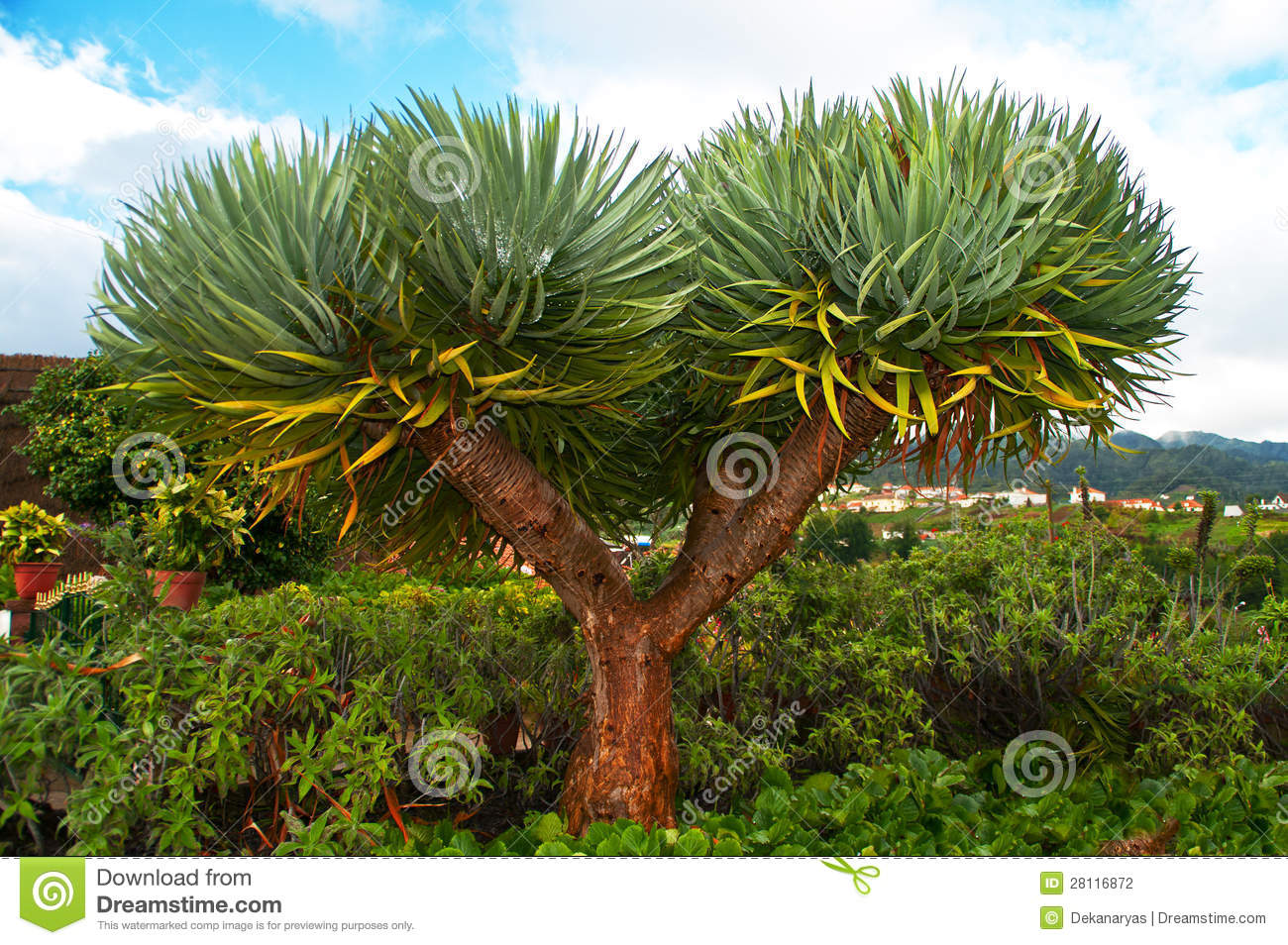 dracaena draco dragon tree royalty free stock photo. Black Bedroom Furniture Sets. Home Design Ideas