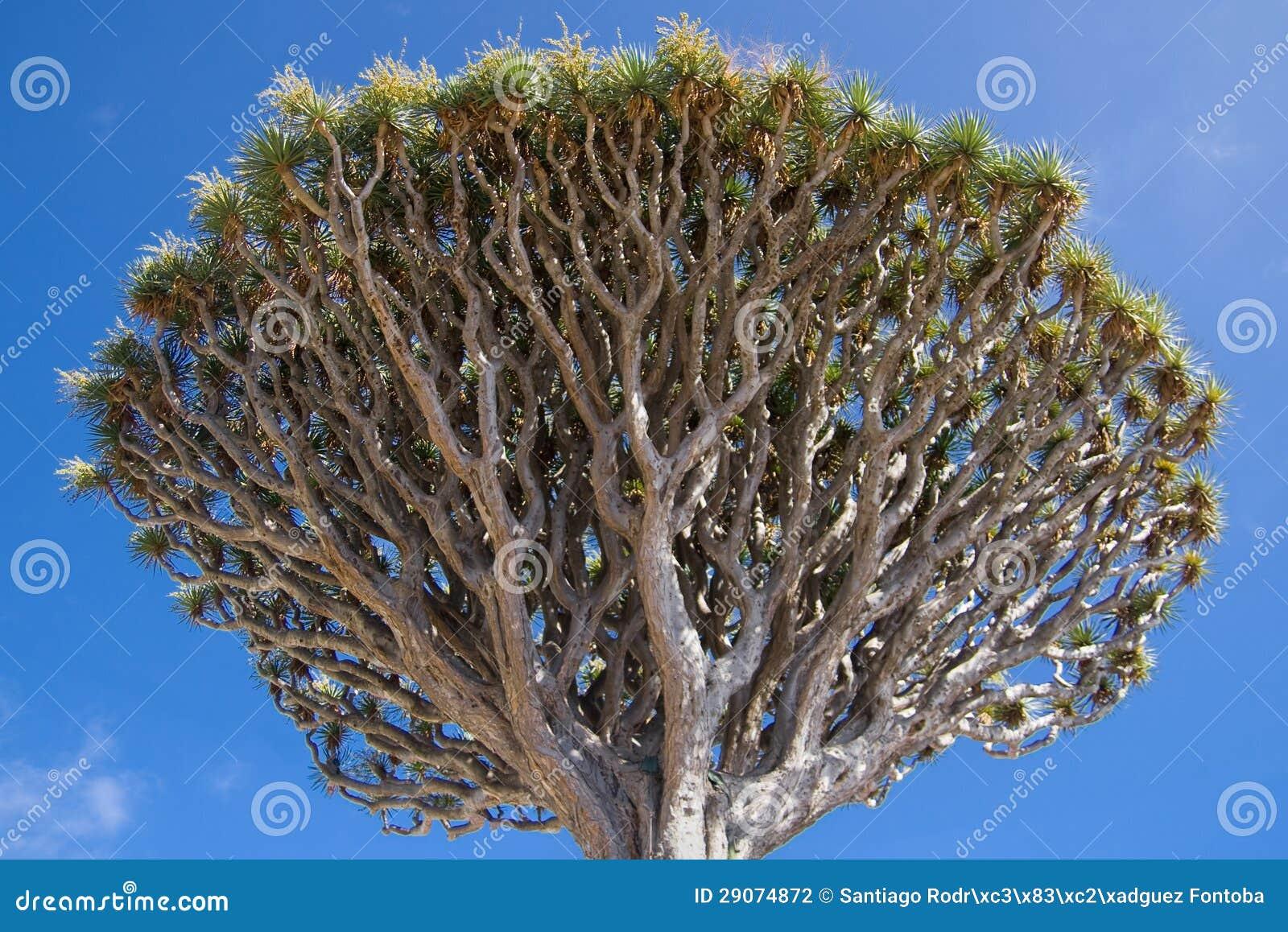 Dracaena Draco treetop