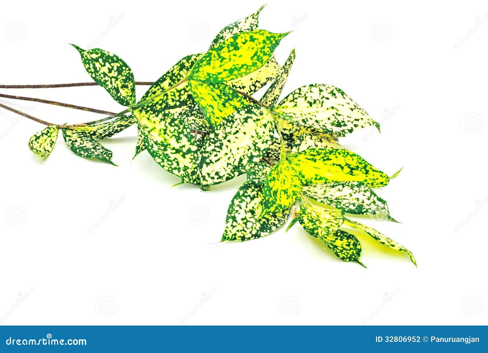 Foliage leaves of dracaena Gold dust dracaena or Spotted dracaena  #AEBB10