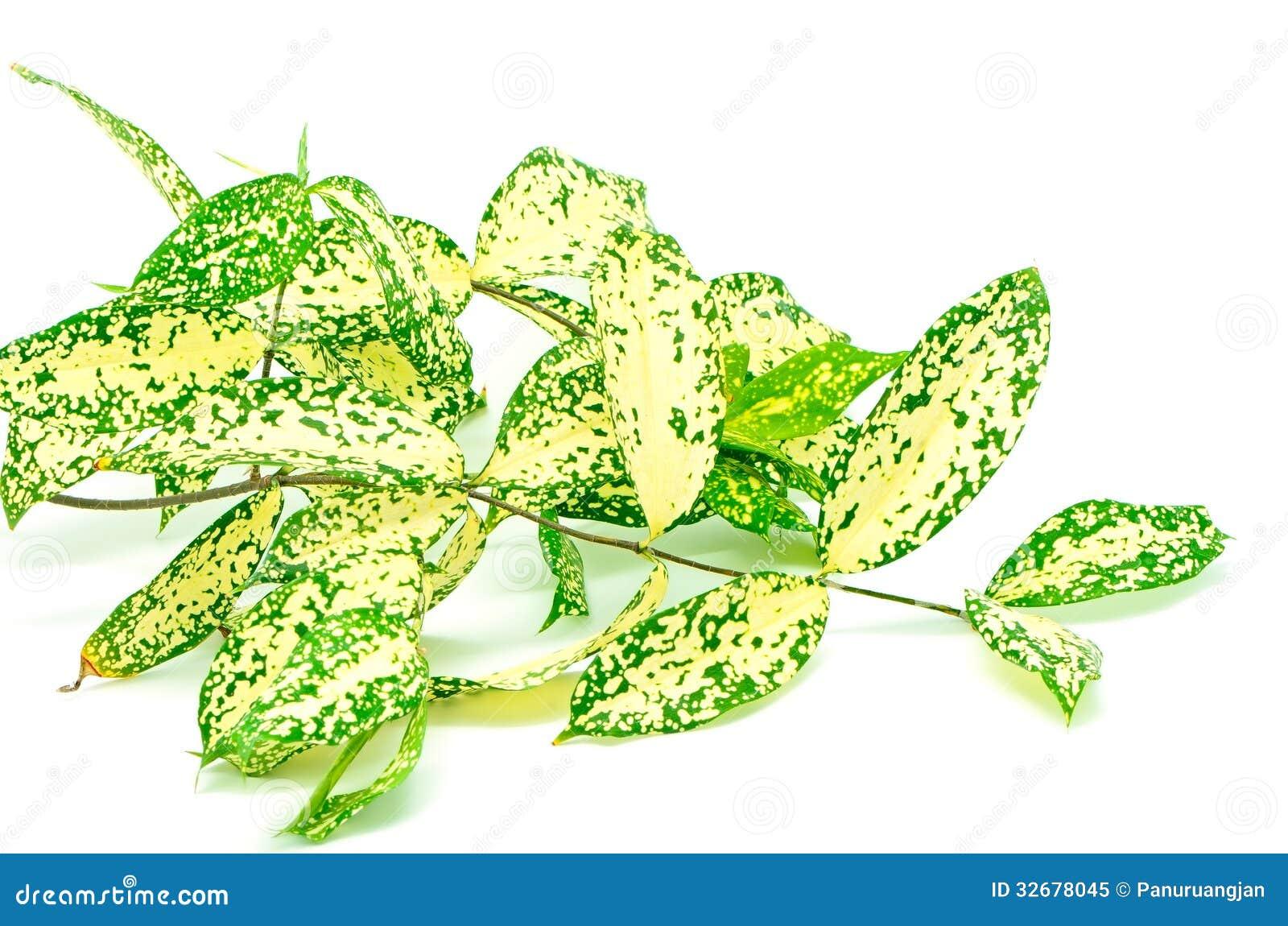 Foliage leaves of dracaena Gold Dust dracaena or Spotted dracaena  #0F4B04