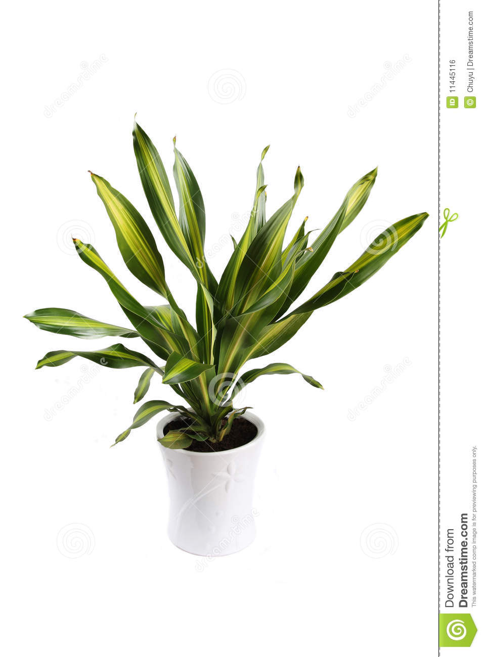 dracaena fragrans stock photo image of green potted 11445116. Black Bedroom Furniture Sets. Home Design Ideas