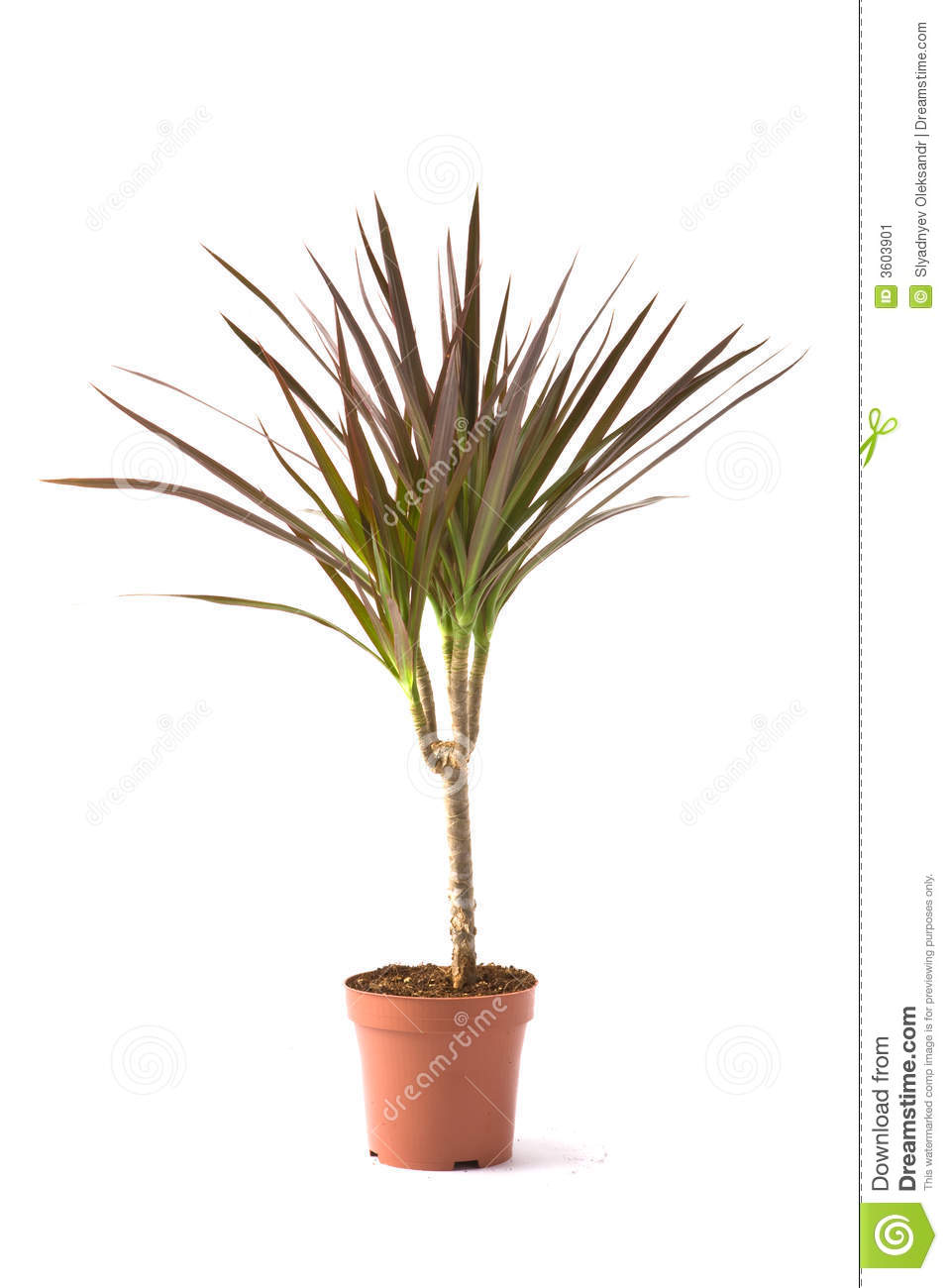dracaena marginata magenta stock image image of leaf. Black Bedroom Furniture Sets. Home Design Ideas