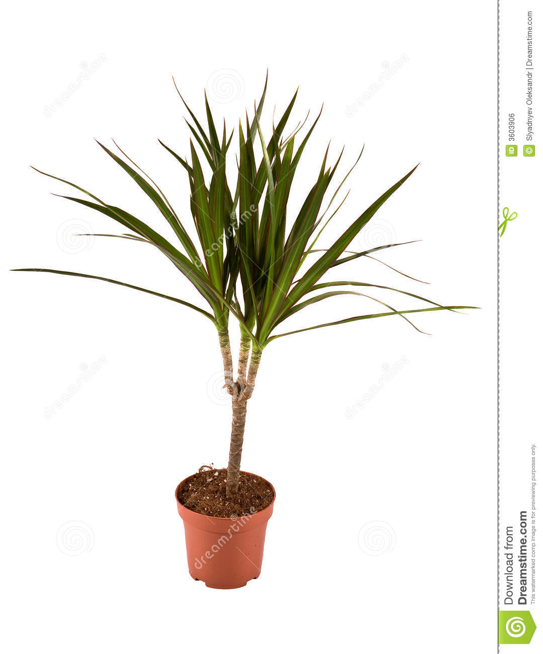 dracaena marginata magenta royalty free stock image. Black Bedroom Furniture Sets. Home Design Ideas