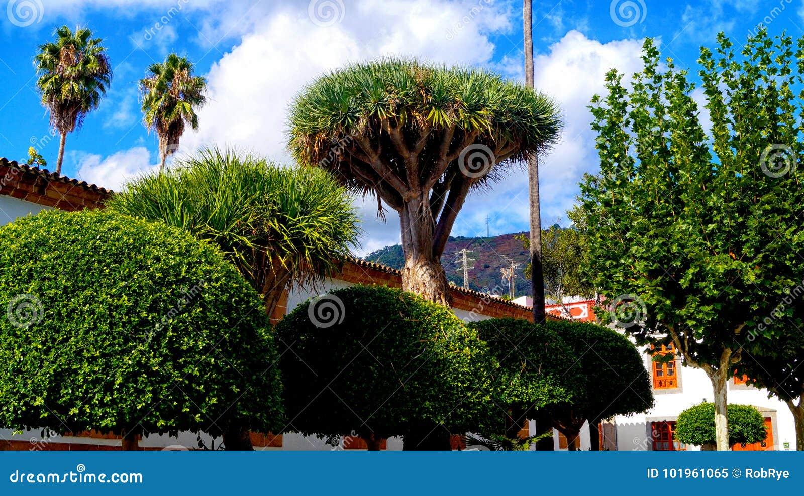 Draco van Dracaena van de draakboom in Arucas stadscentrum van Gran Canar