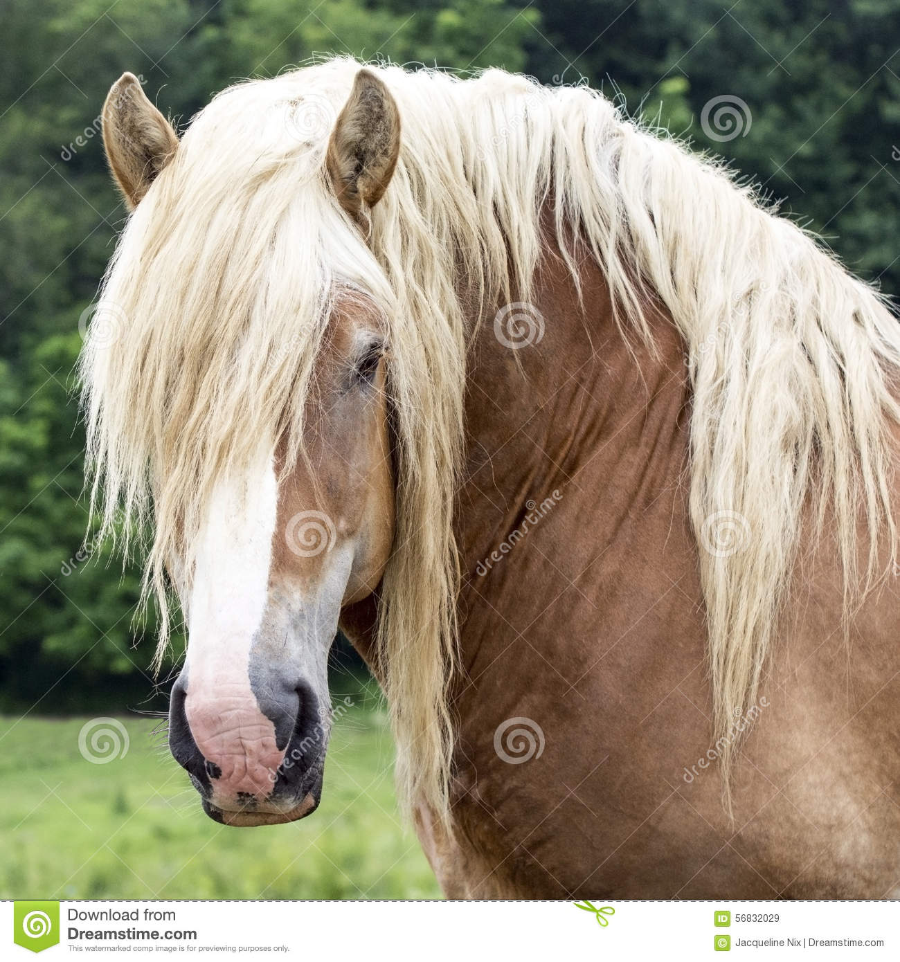 draft horse head square stock photo image 56832029 running horses clip art pictures running horses clip art pictures