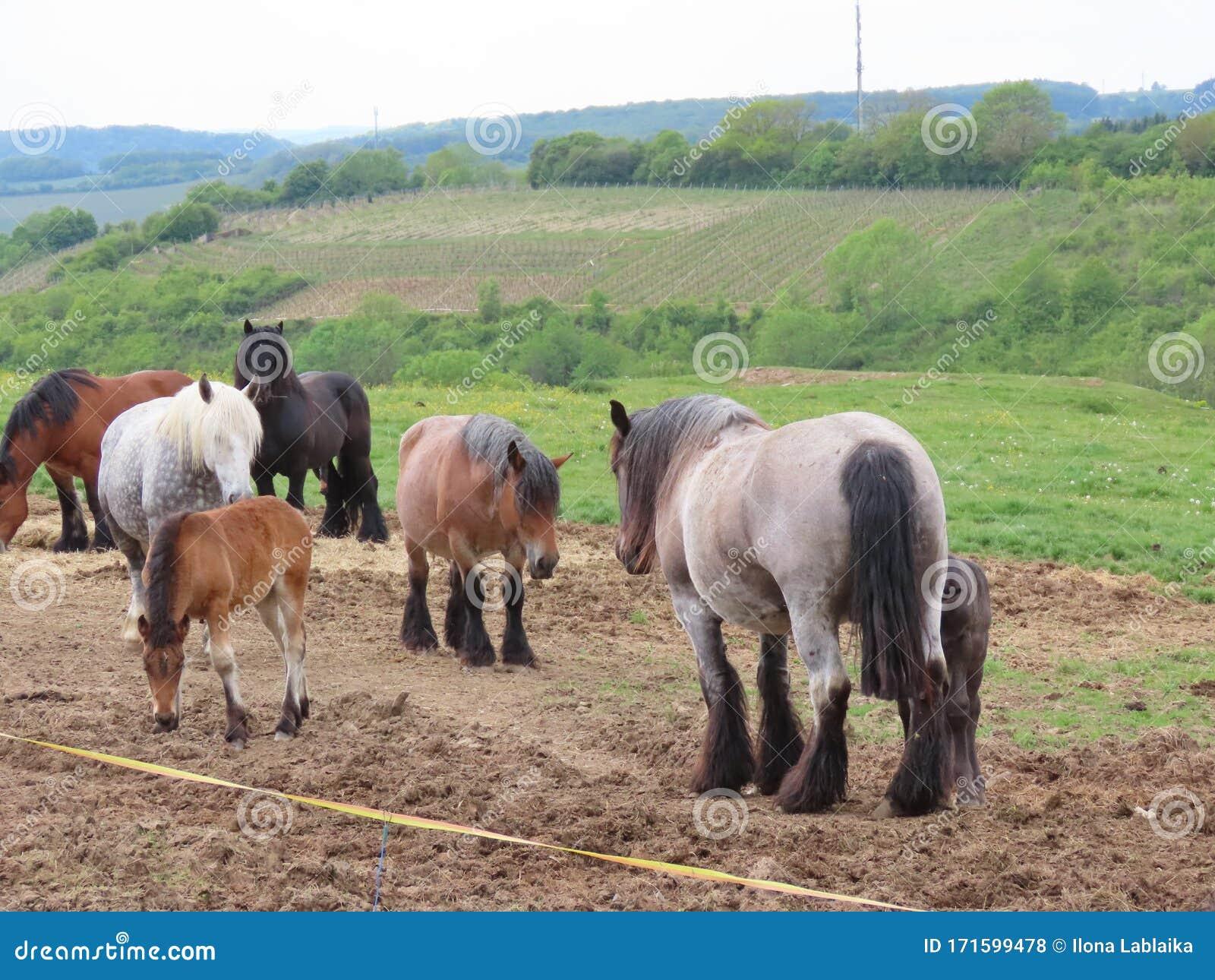 Draft Horse Herd Stock Photo Image Of Breeding Light 171599478