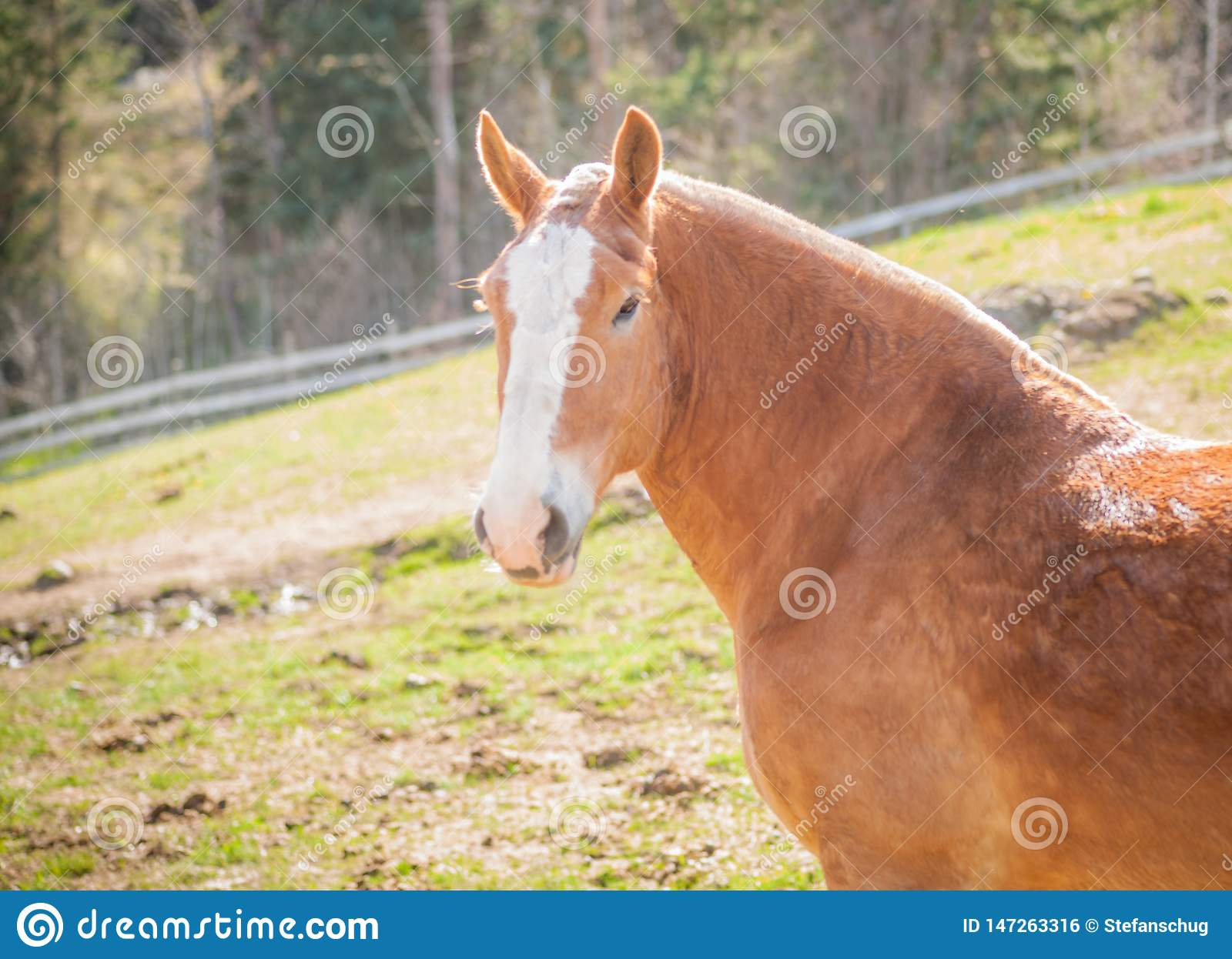 Draft Horse Portrait Of Head And Neck Stock Photo Image Of Sideview Riding 147263316