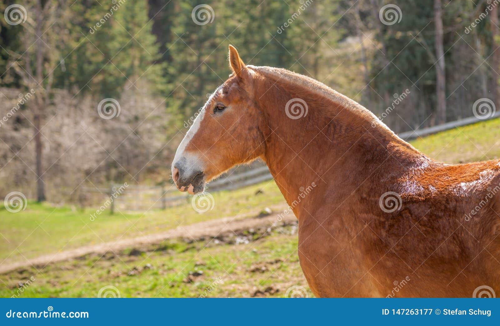 Draft Horse Profile Portrait Of Head And Neck Stock Image Image Of Alert Portrait 147263177