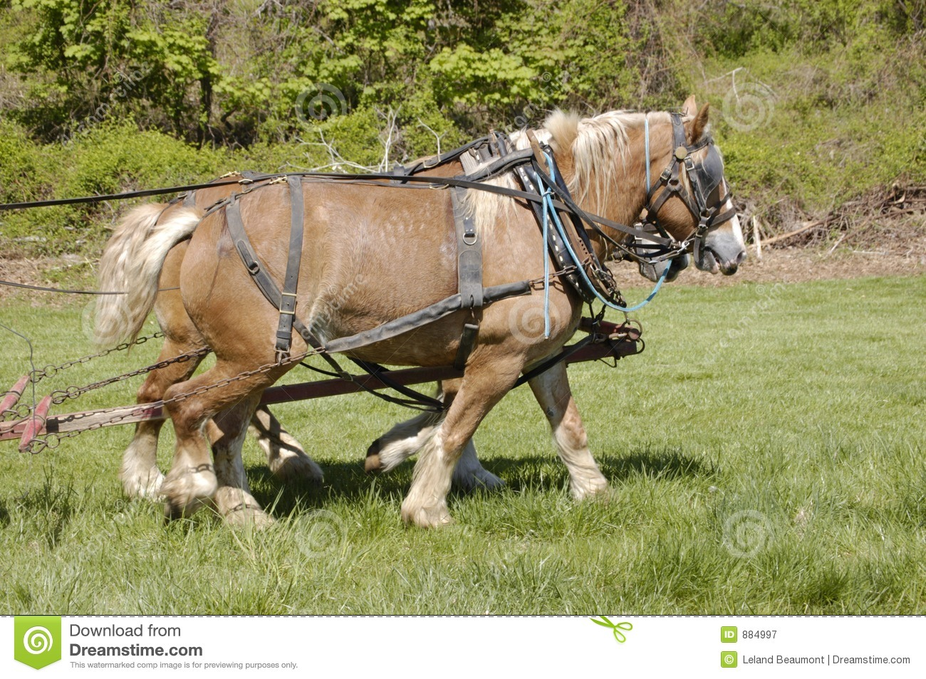 Draft Horses Stock Image Image Of Farm Team Pull Horse 884997