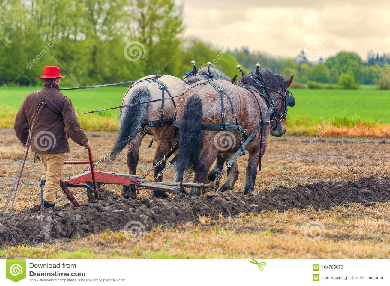 Draft Horses Pull A Plow Guided By A Man Editorial Stock