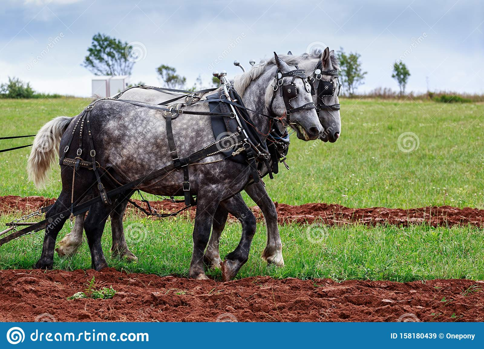 Draft Horses Working The Field Stock Image Image Of Percheron Harness 158180439