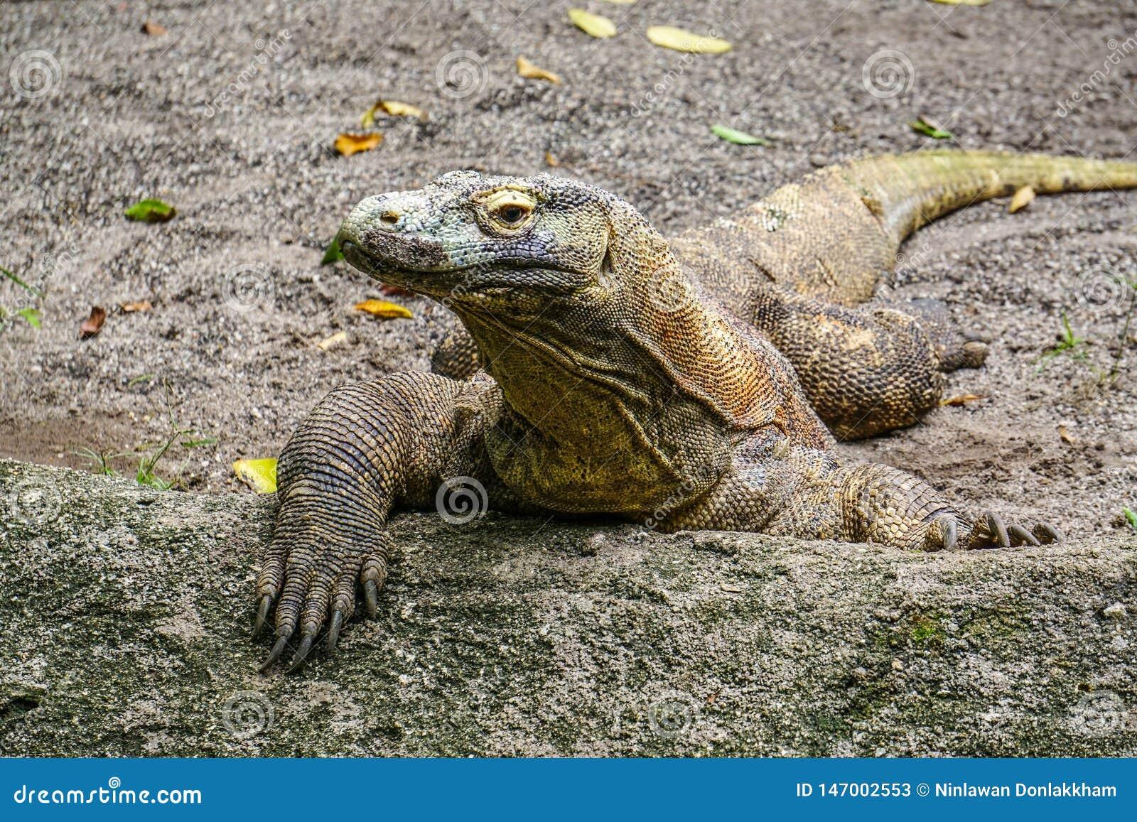 Drag?o de Komodo no jardim zool?gico