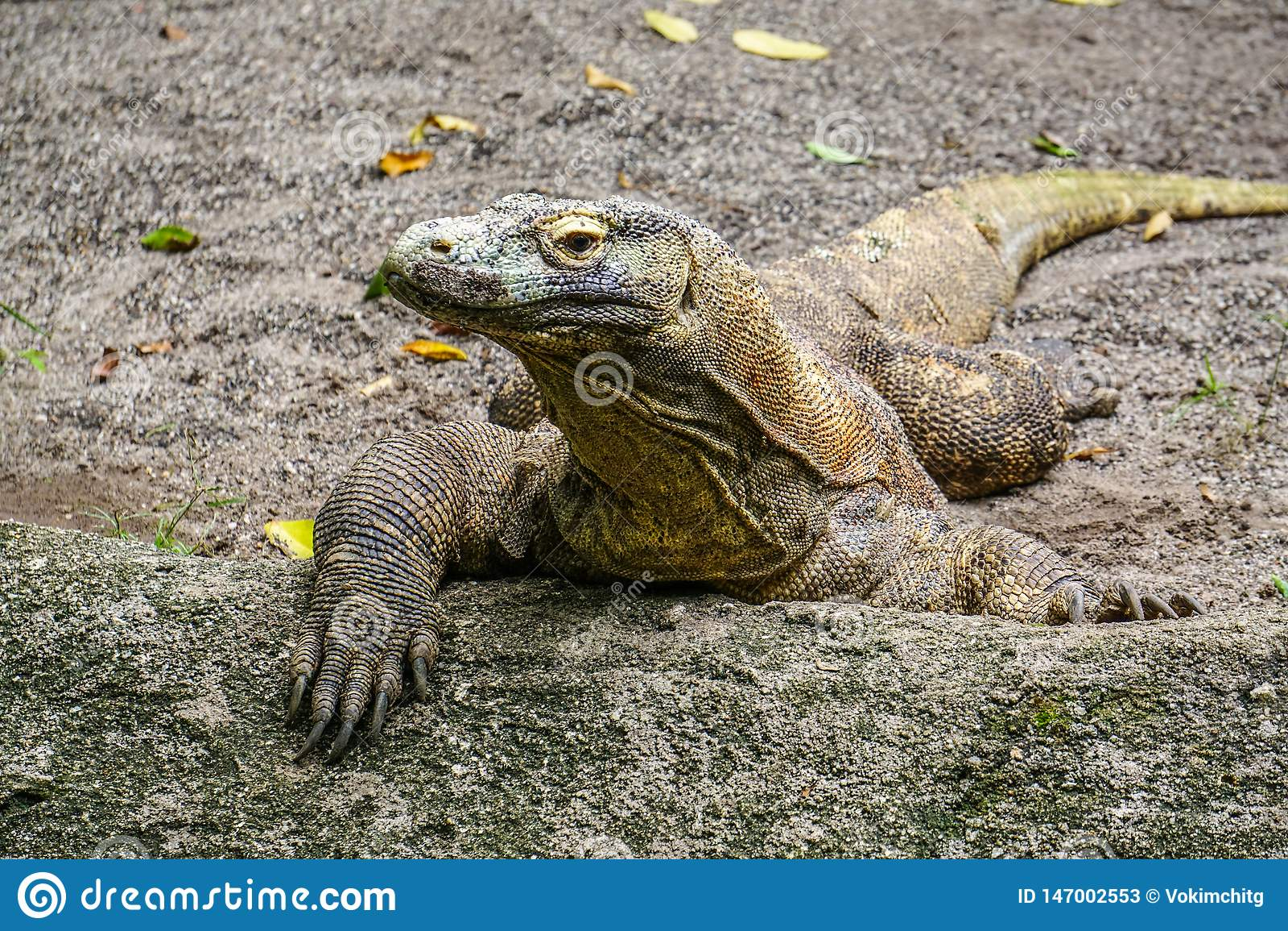 Drago di Komodo nello zoo