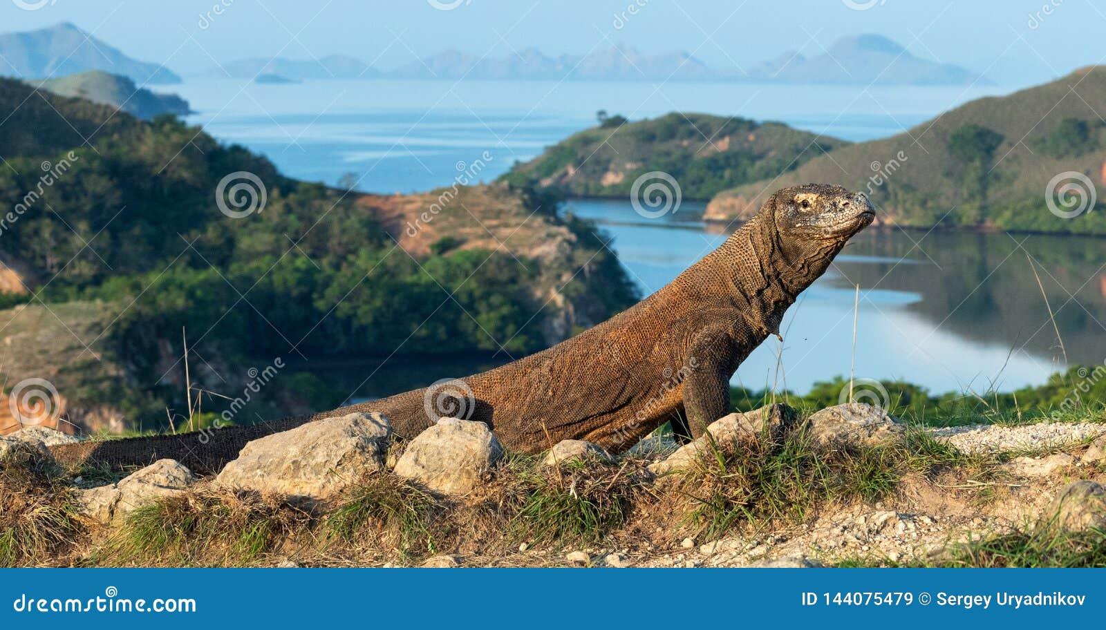 Drago di Komodo, nome scientifico: Komodoensis di varano Vista scenica sui precedenti, habitat naturale l indonesia