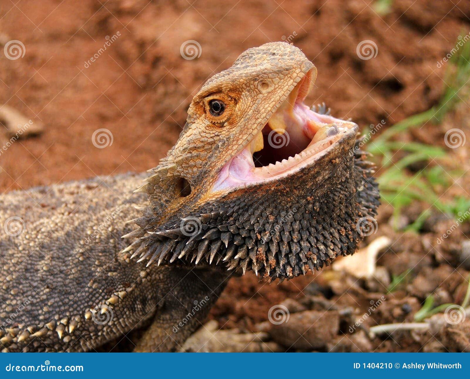 Dragon barbu fâché