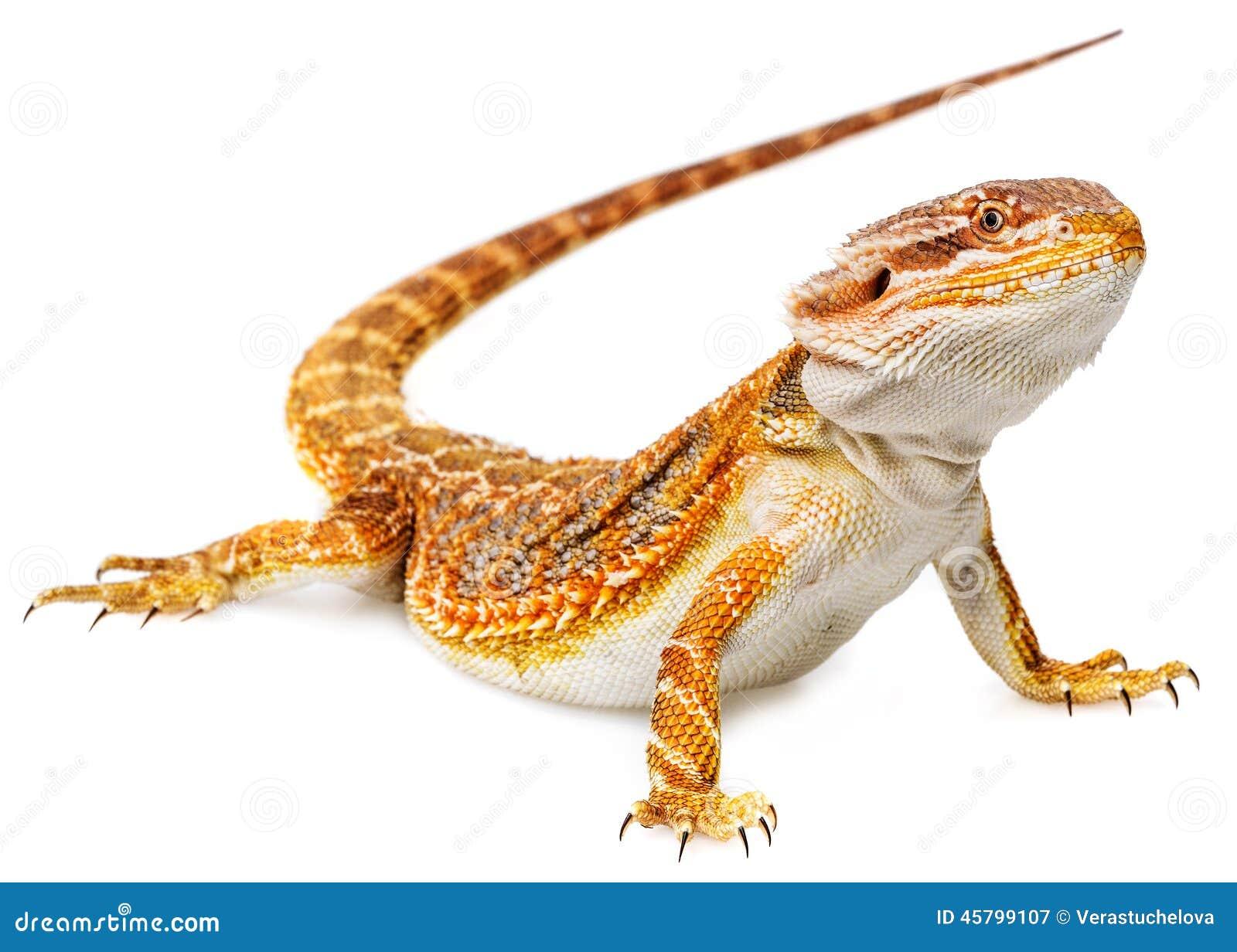 Dragon barbu - vitticeps de pogona