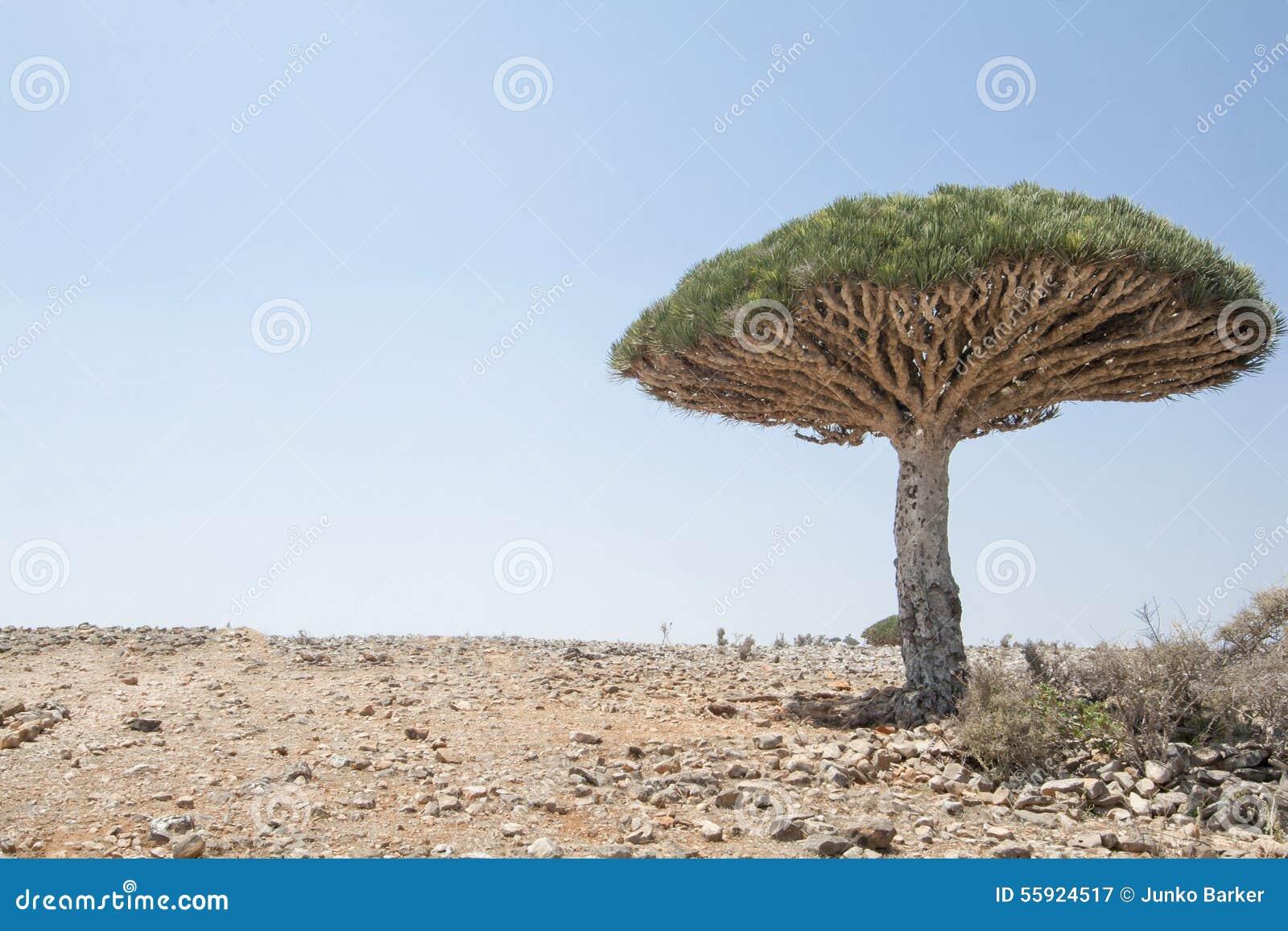 Dragon Blood Tree, cinnabari do Dracaena, árvore de dragão do Socotra