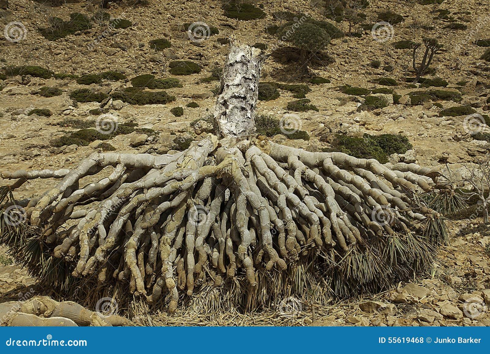 Dragon Blood Tree inoperante, cinnabari do Dracaena, árvore de dragão do Socotra, ameaçou a espécie