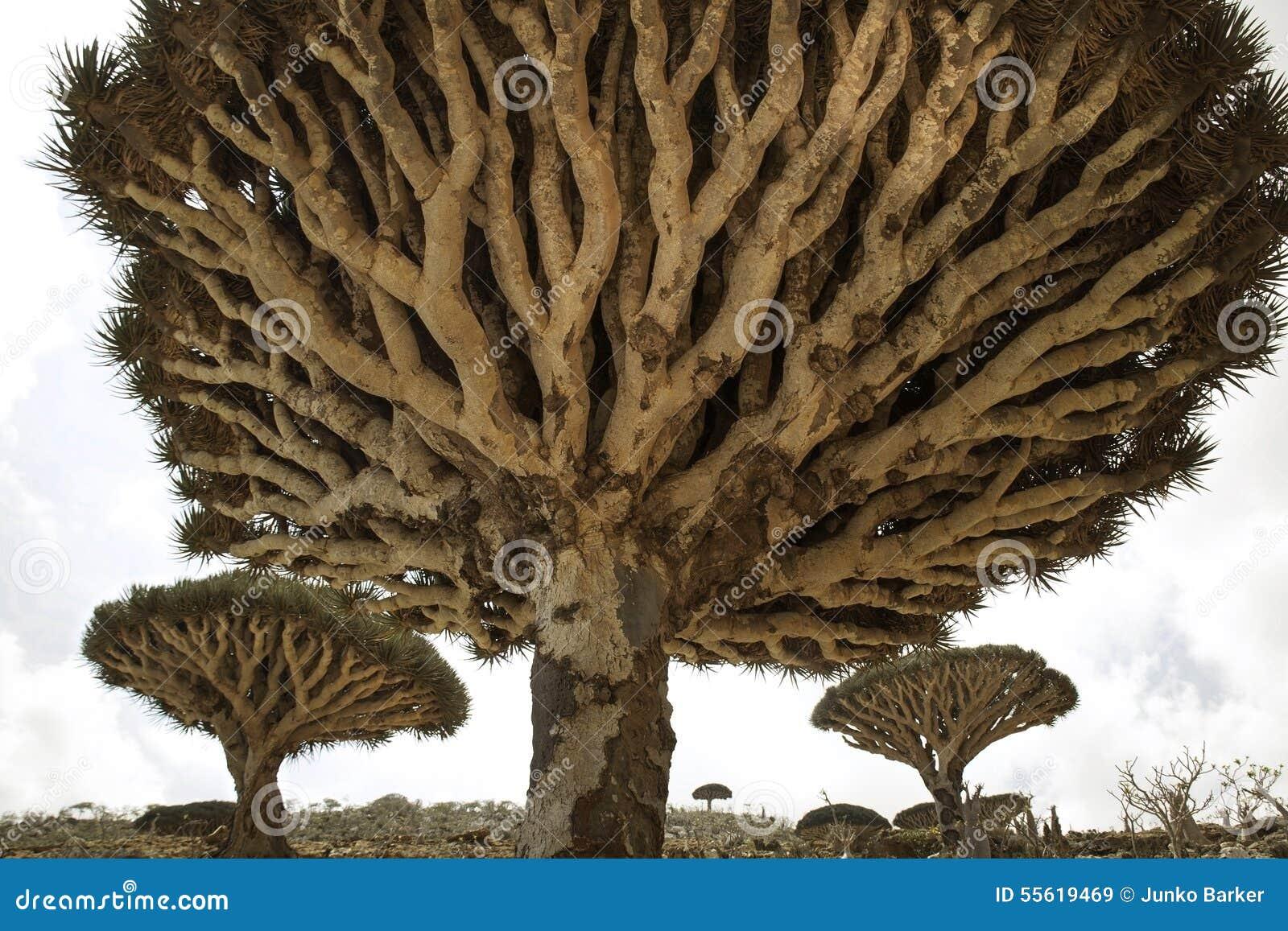 Dragon Blood Tree o mais forrest, cinnabari do Dracaena, árvore de dragão do Socotra, ameaçou a espécie