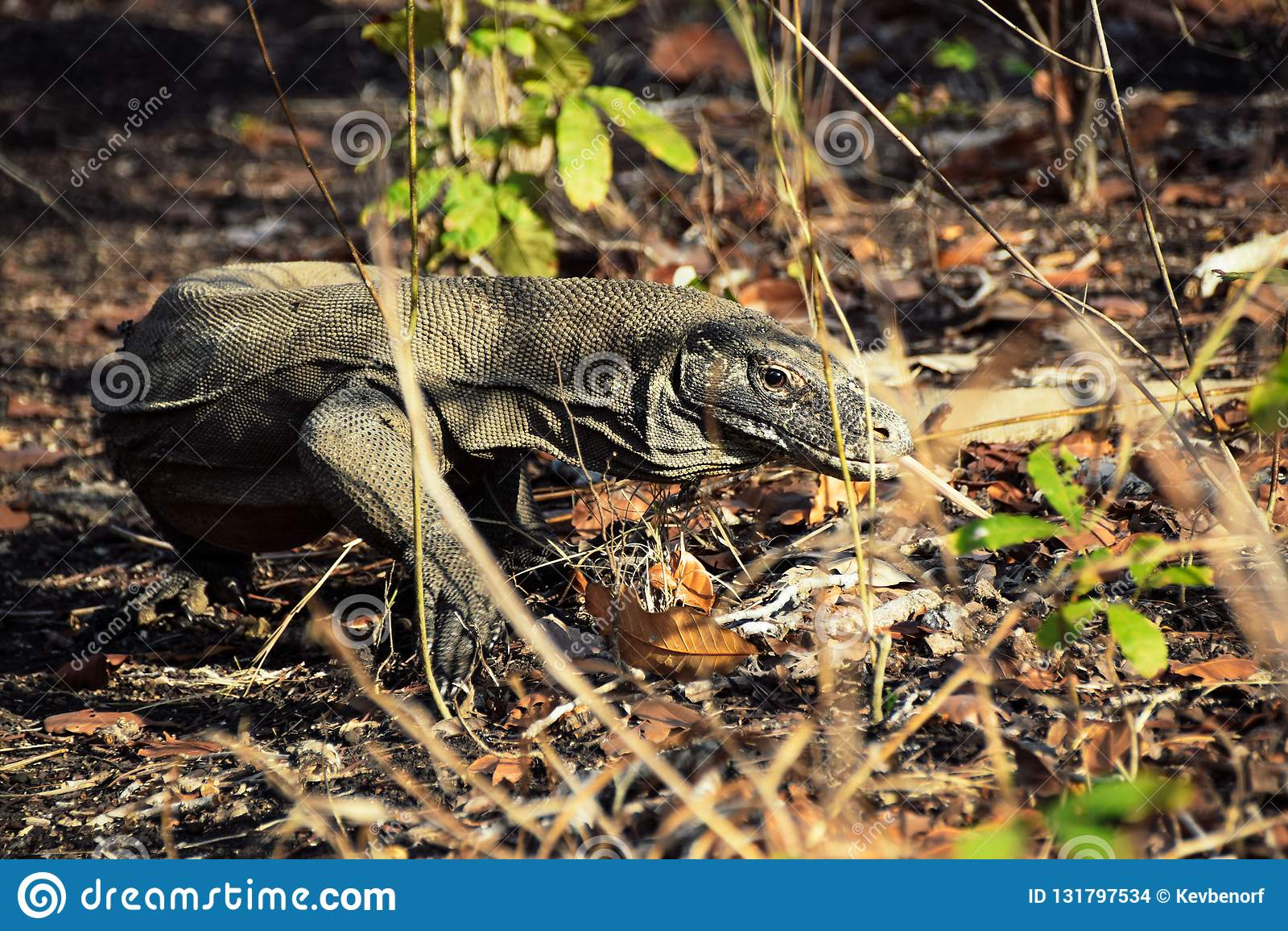 Dragon de Komodo sur l île de Rinca, parc national de Komodo, Indonésie
