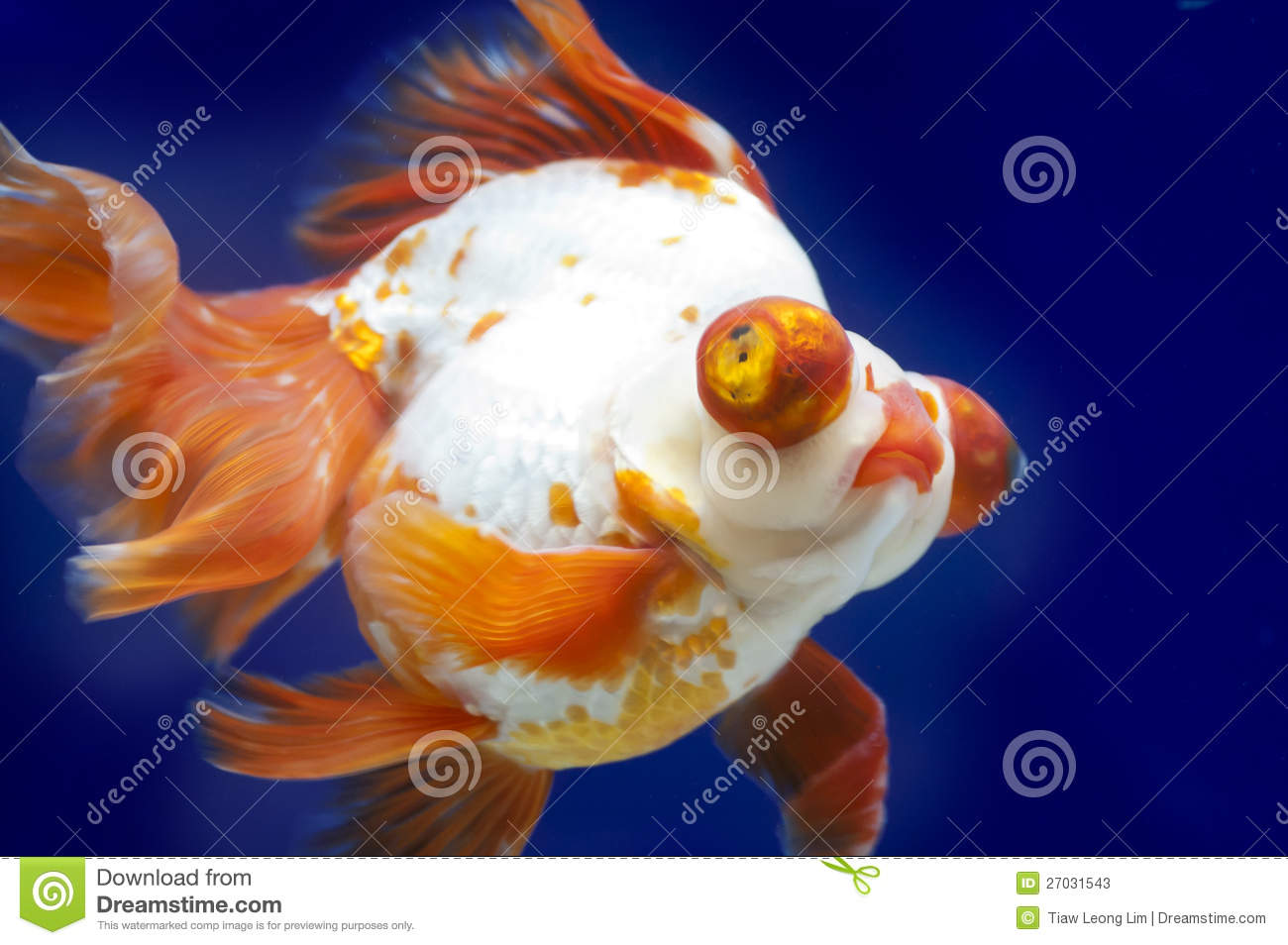 Fish in tank with goldfish - Dragon Eye Goldfish In Fish Tank Stock Photos